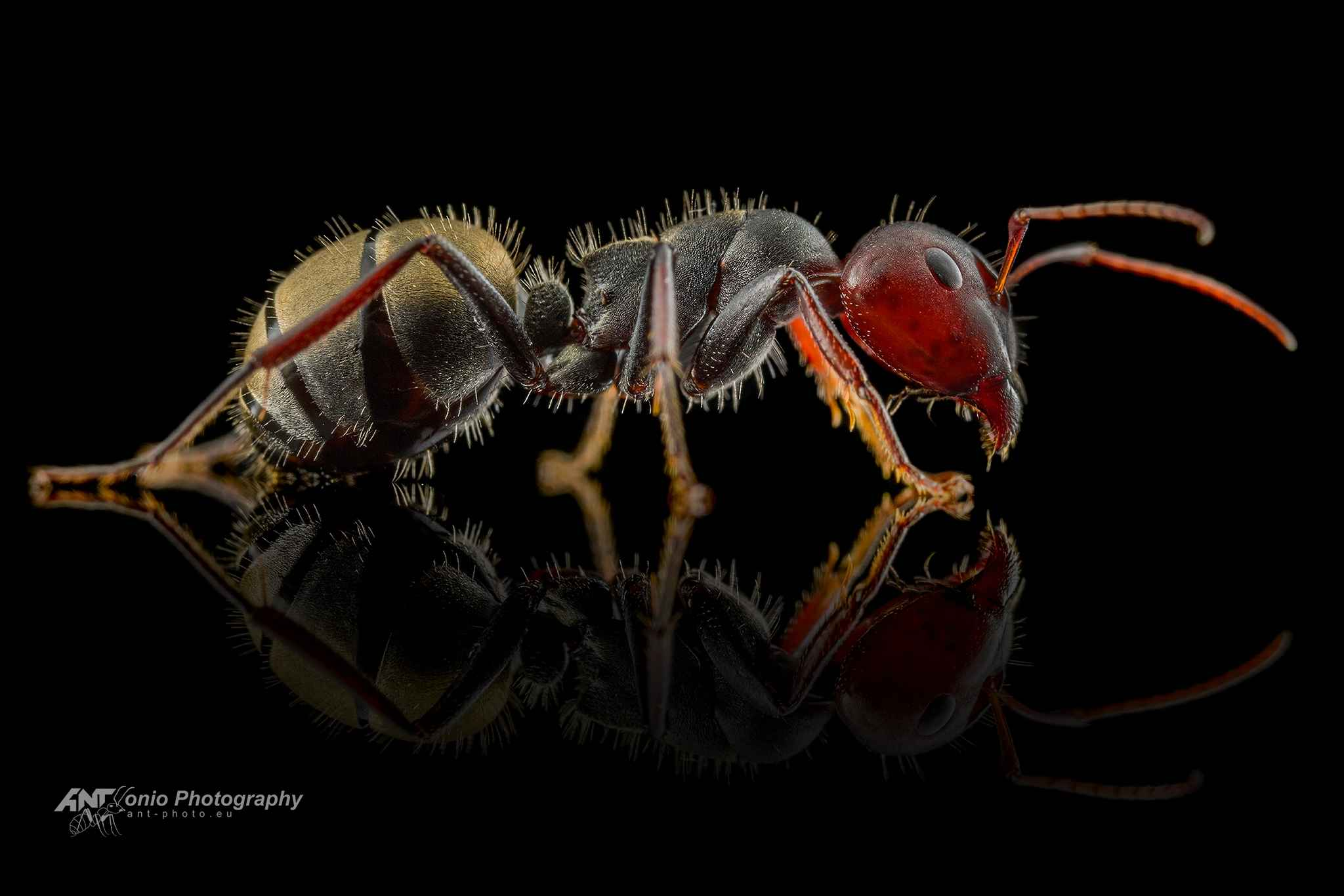Ant Camponotus sericeus major