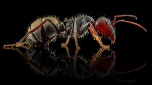 Camponotus sericeus