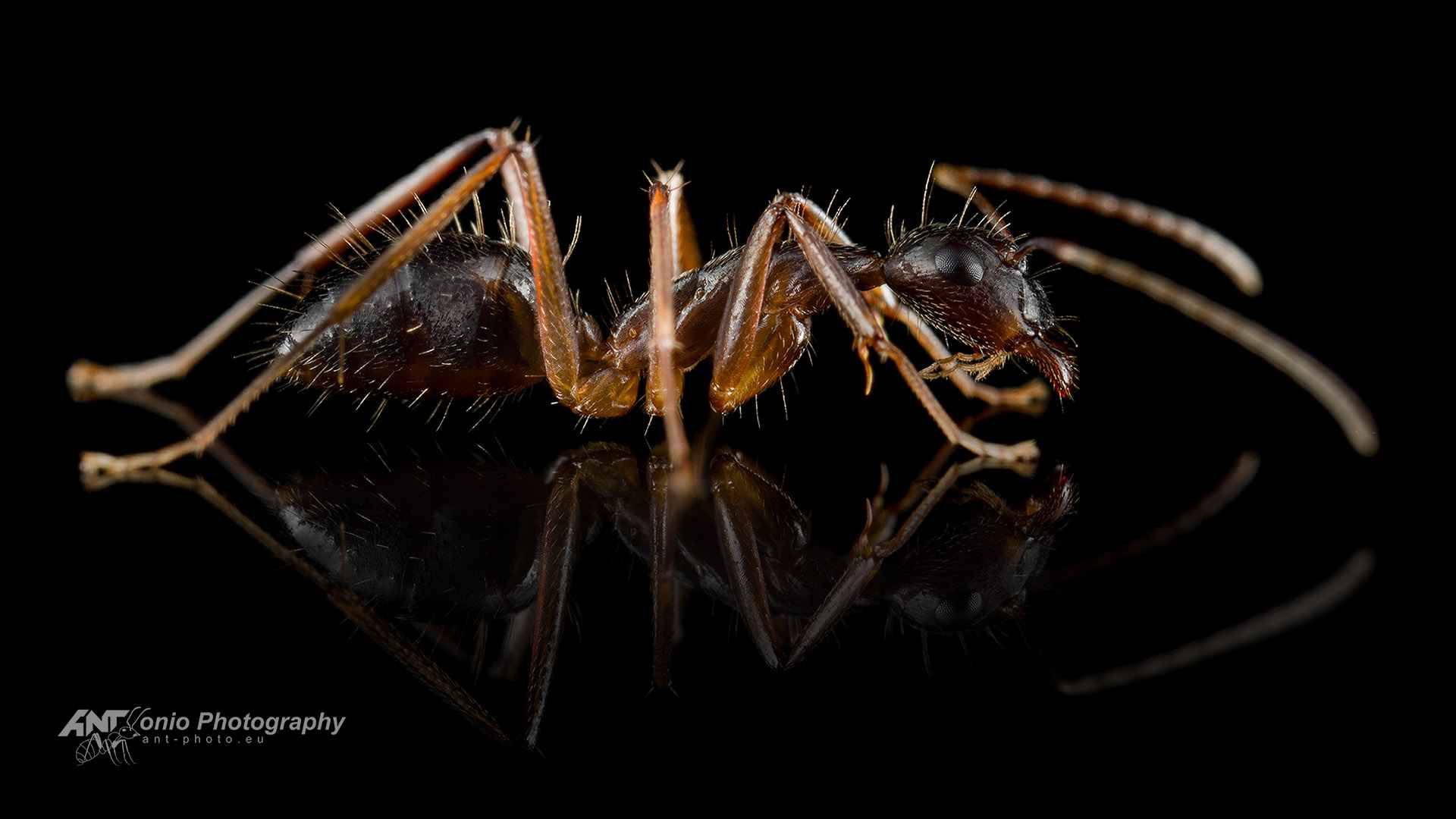 Ant Camponotus rufipes worker