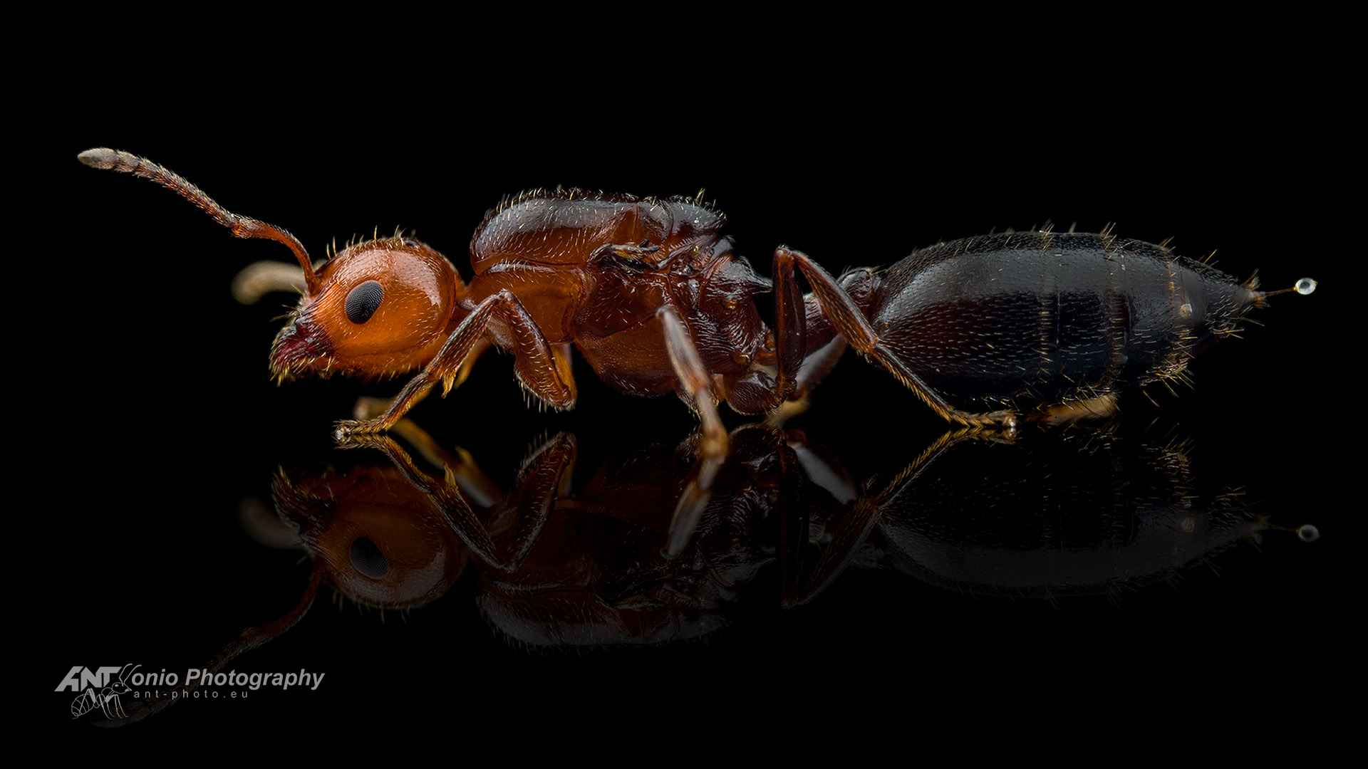 Ant Crematogaster scutellaris queen