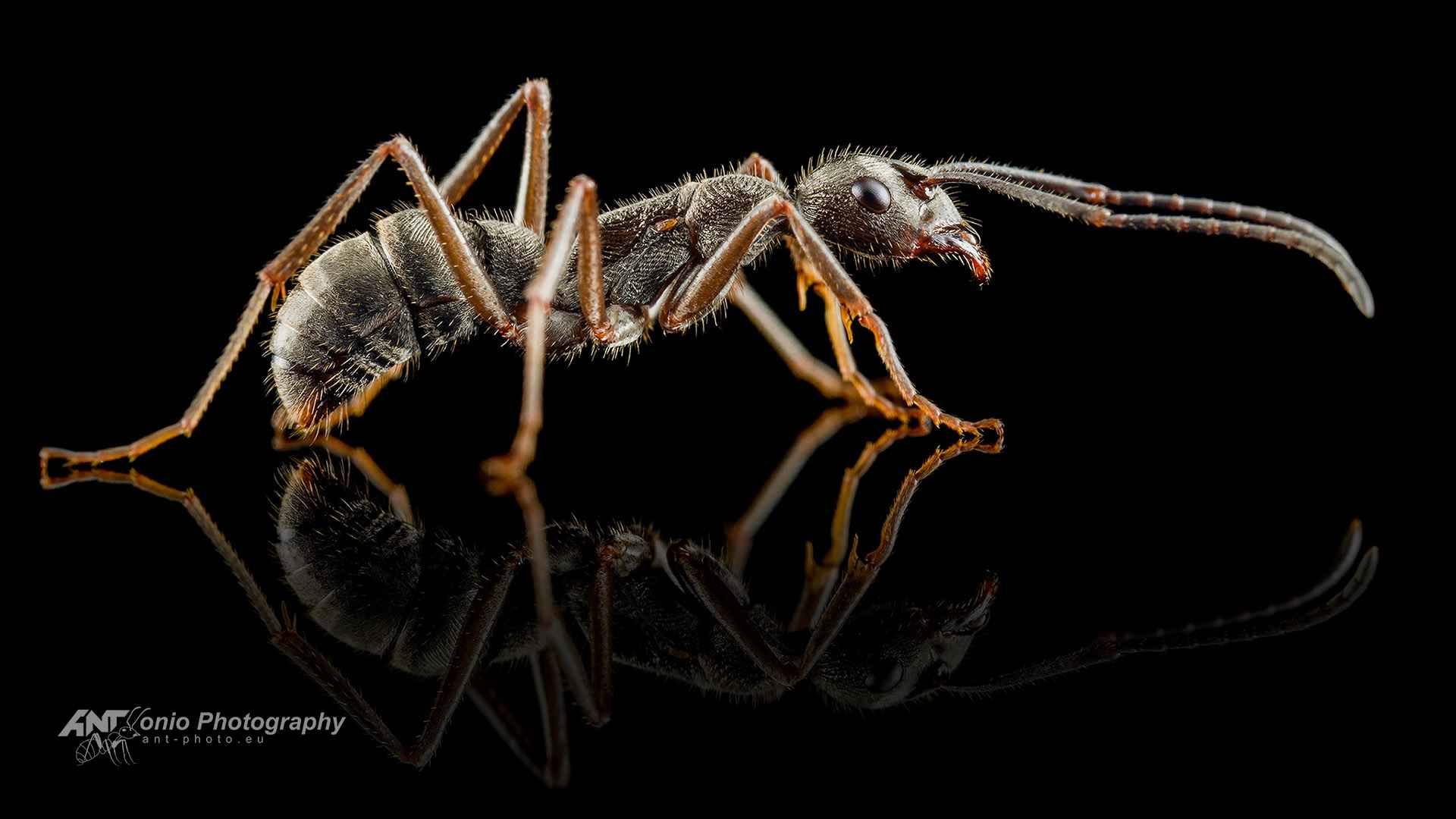 Ant Diacamma rugosum gamergate
