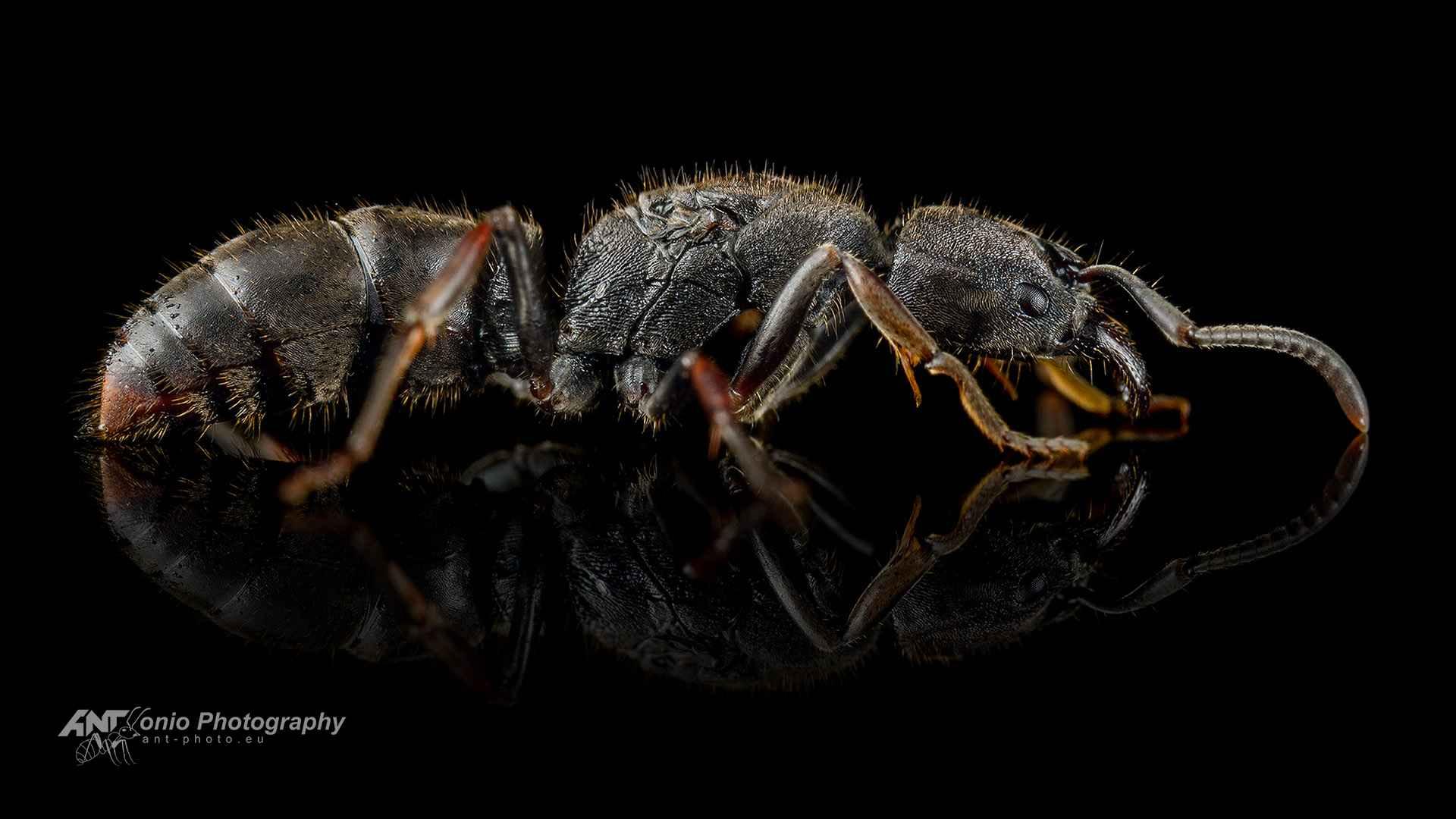 Ant Ectomomyrmex astutus queen