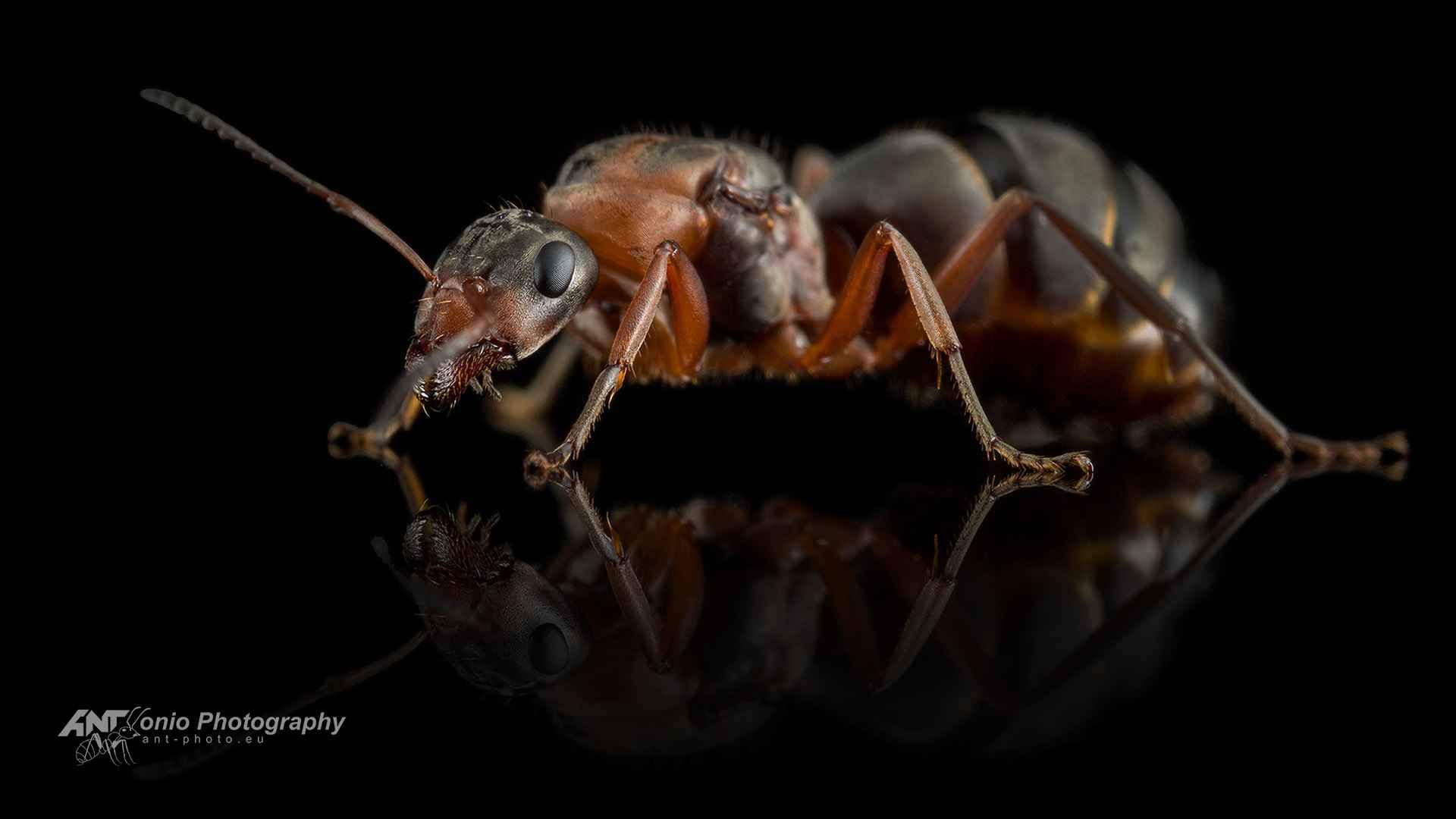 Ant Formica rufibarbis queen