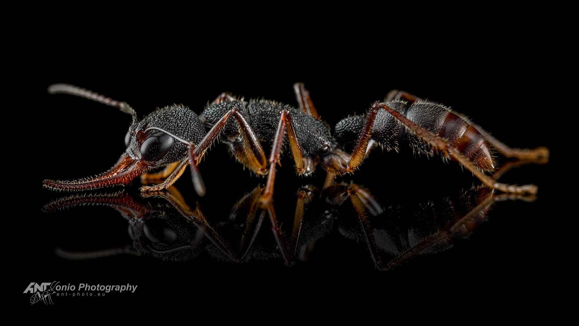 Ant Harpegnathos venator worker