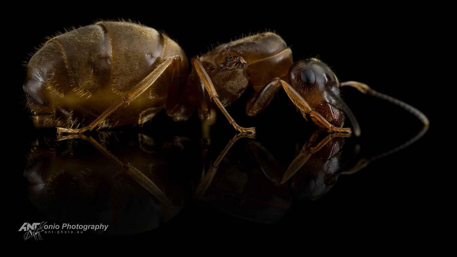 Ant Lasius emarginatus queen