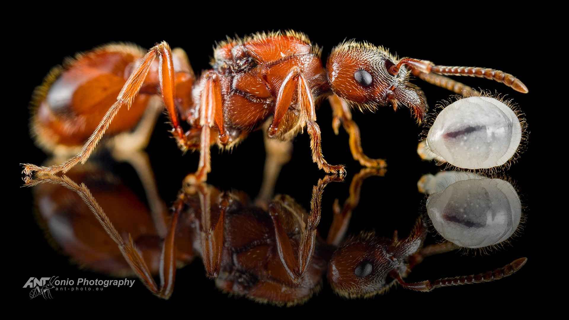 Ant Manica rubida queen