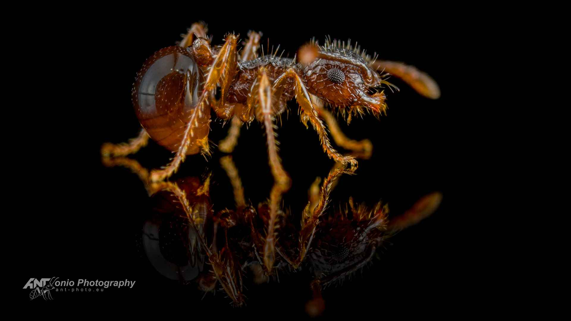 Ant Pristomyrmex punctatus worker