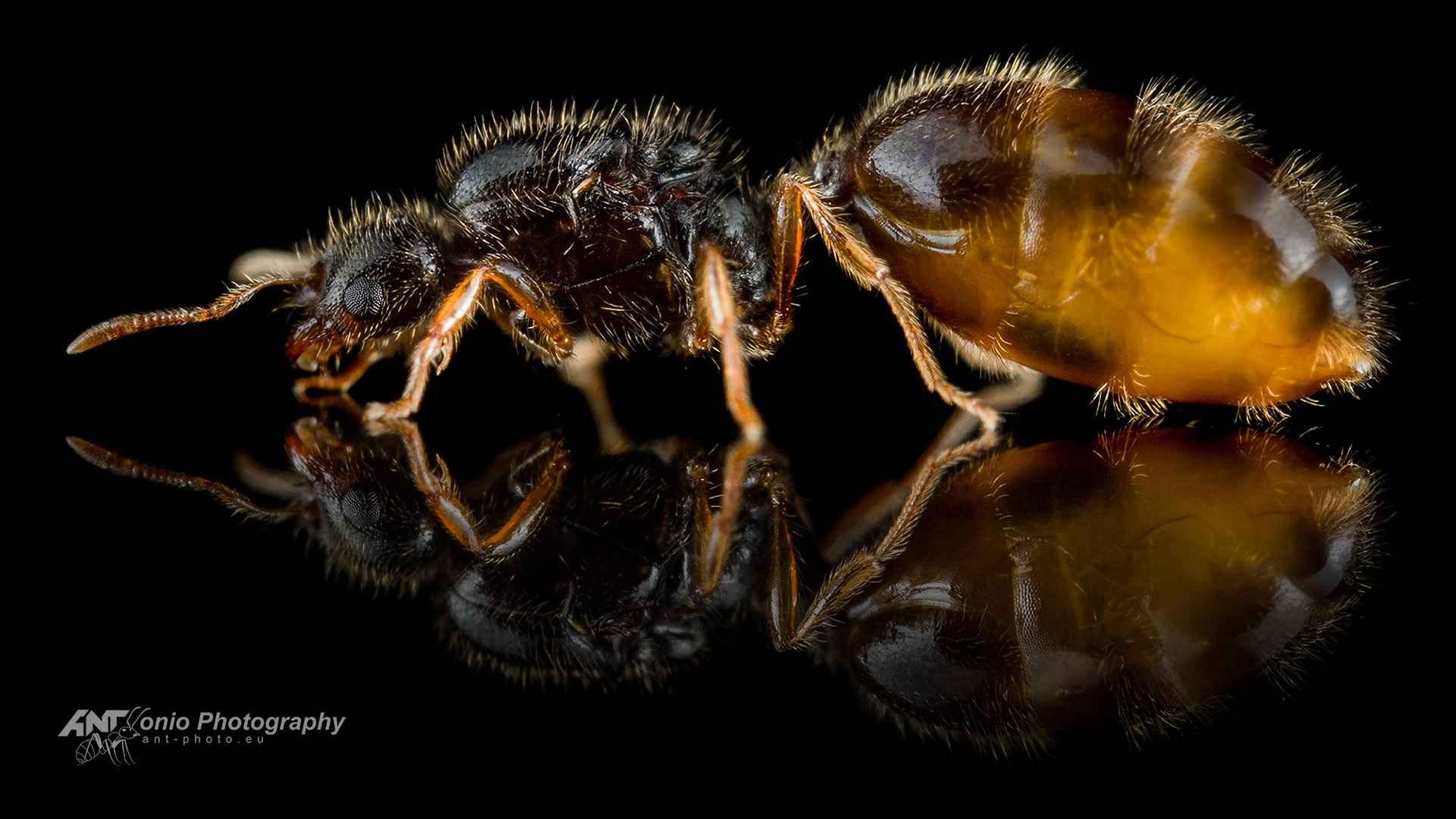 Ant Solenopsis fugax queen