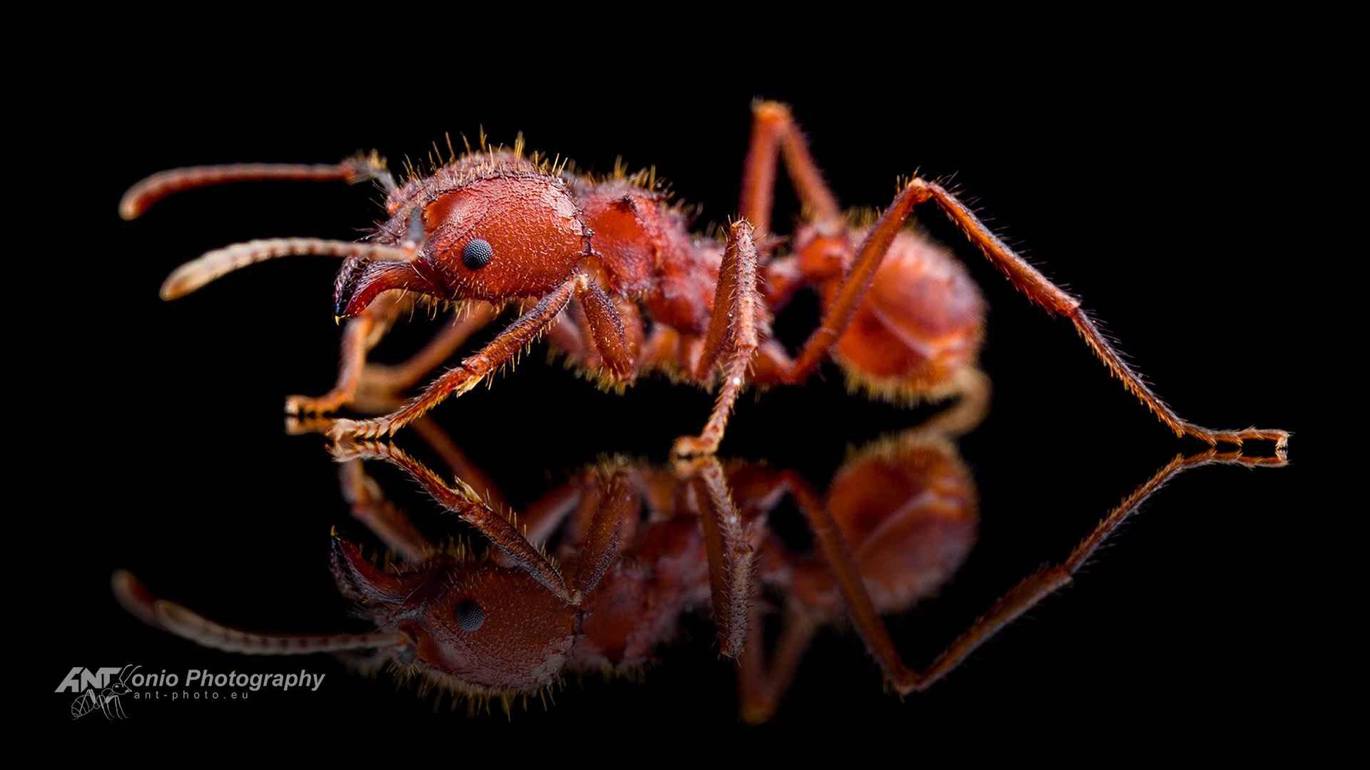 Ant Acromyrmex versicolor worker