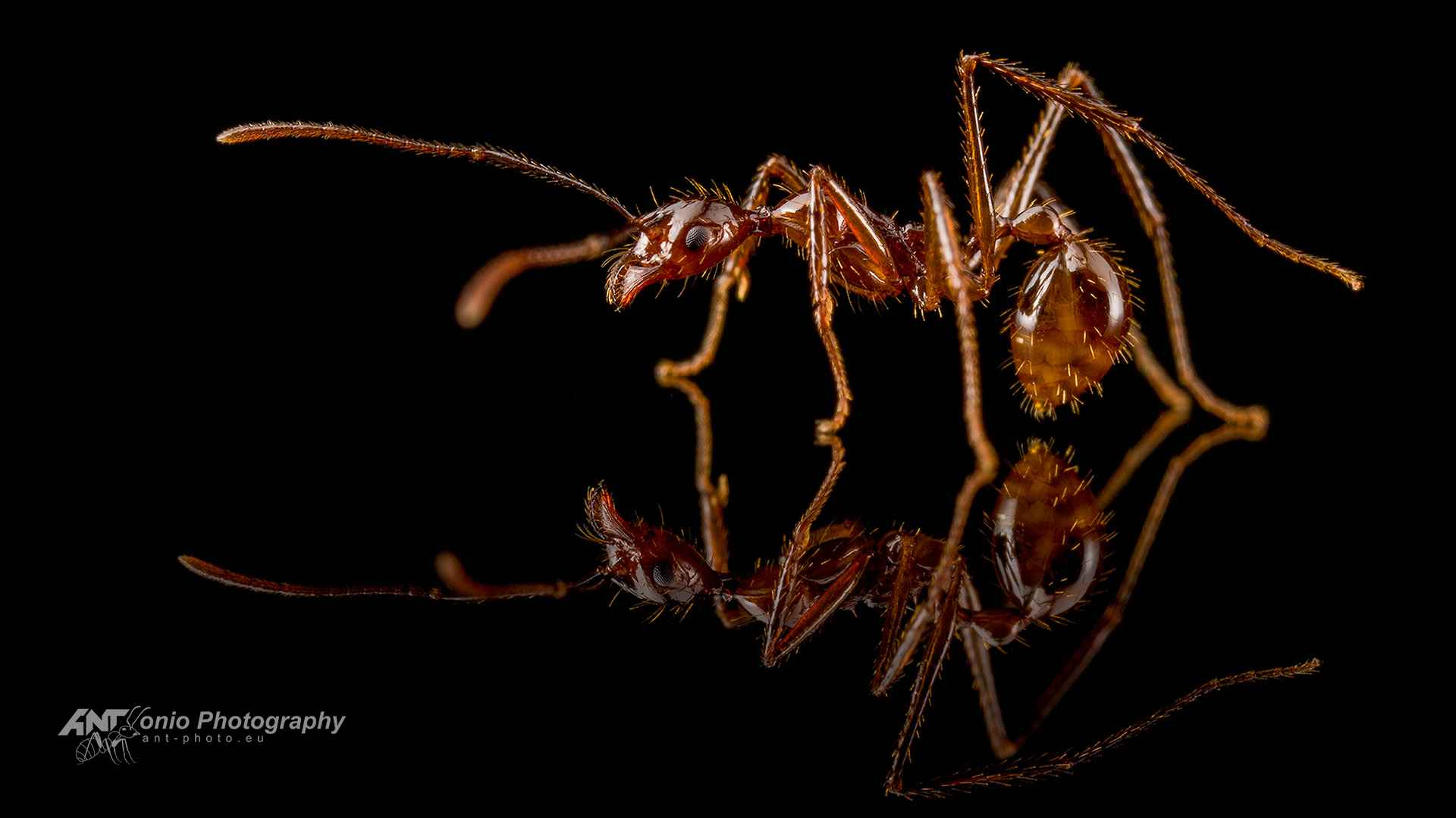 Ant Aphaenogaster beccarii worker
