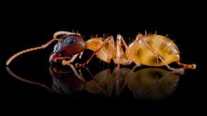 Camponotus ustus