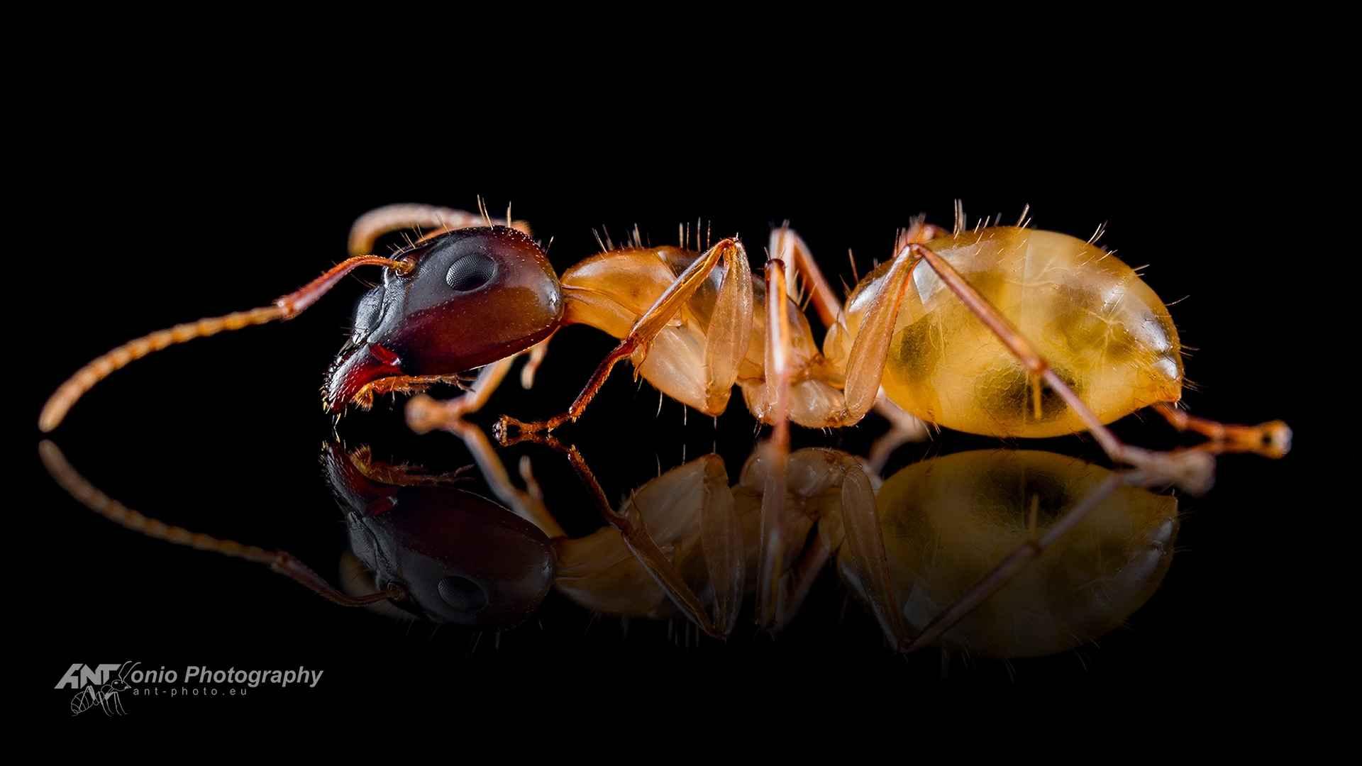 Ant Camponotus ustus major