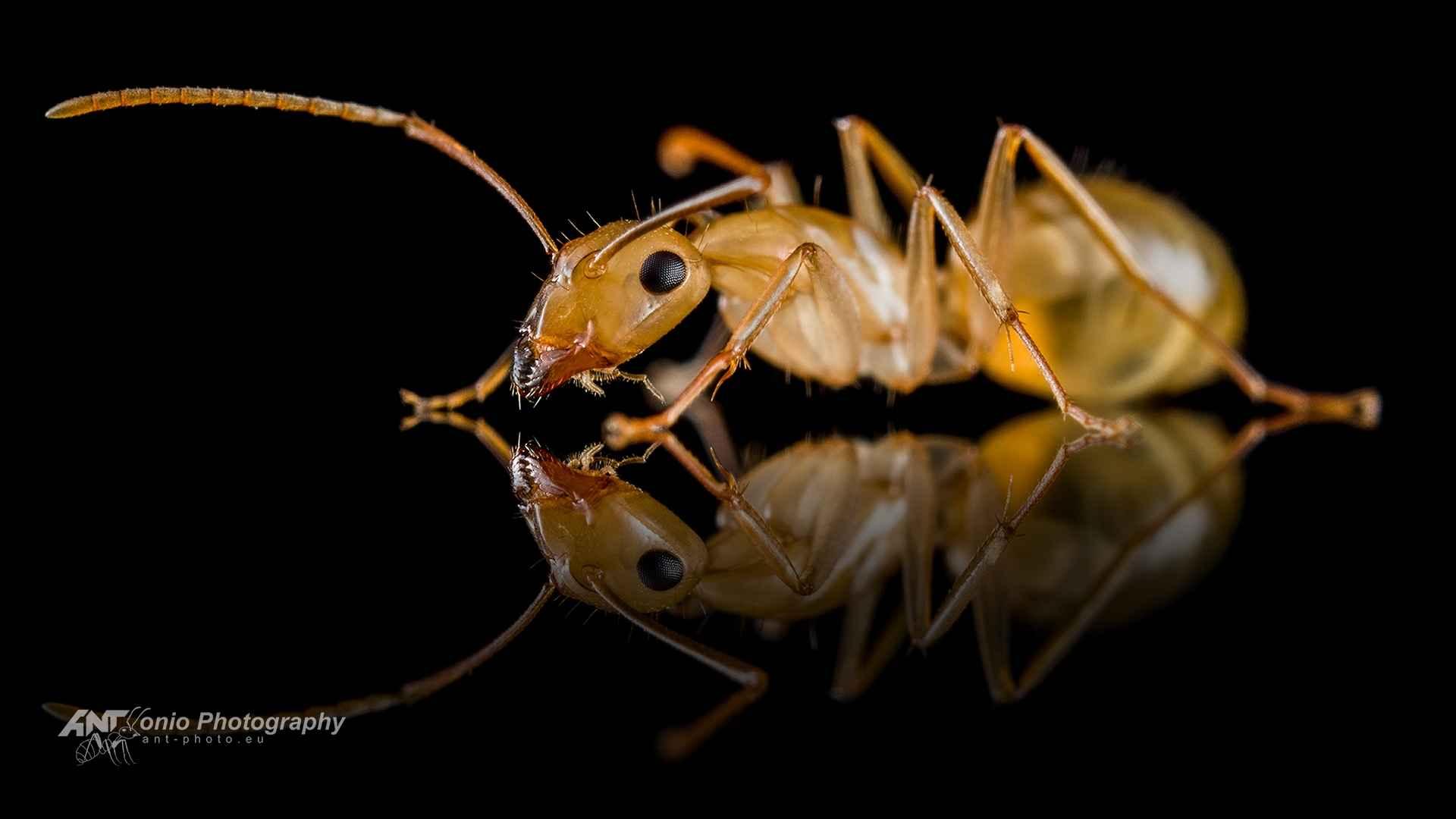 Ant Camponotus ustus worker