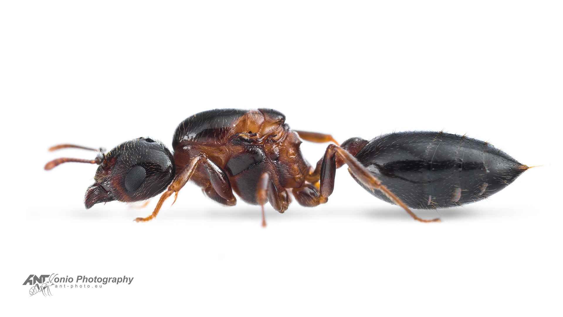 Ant Crematogaster rogenhoferi queen