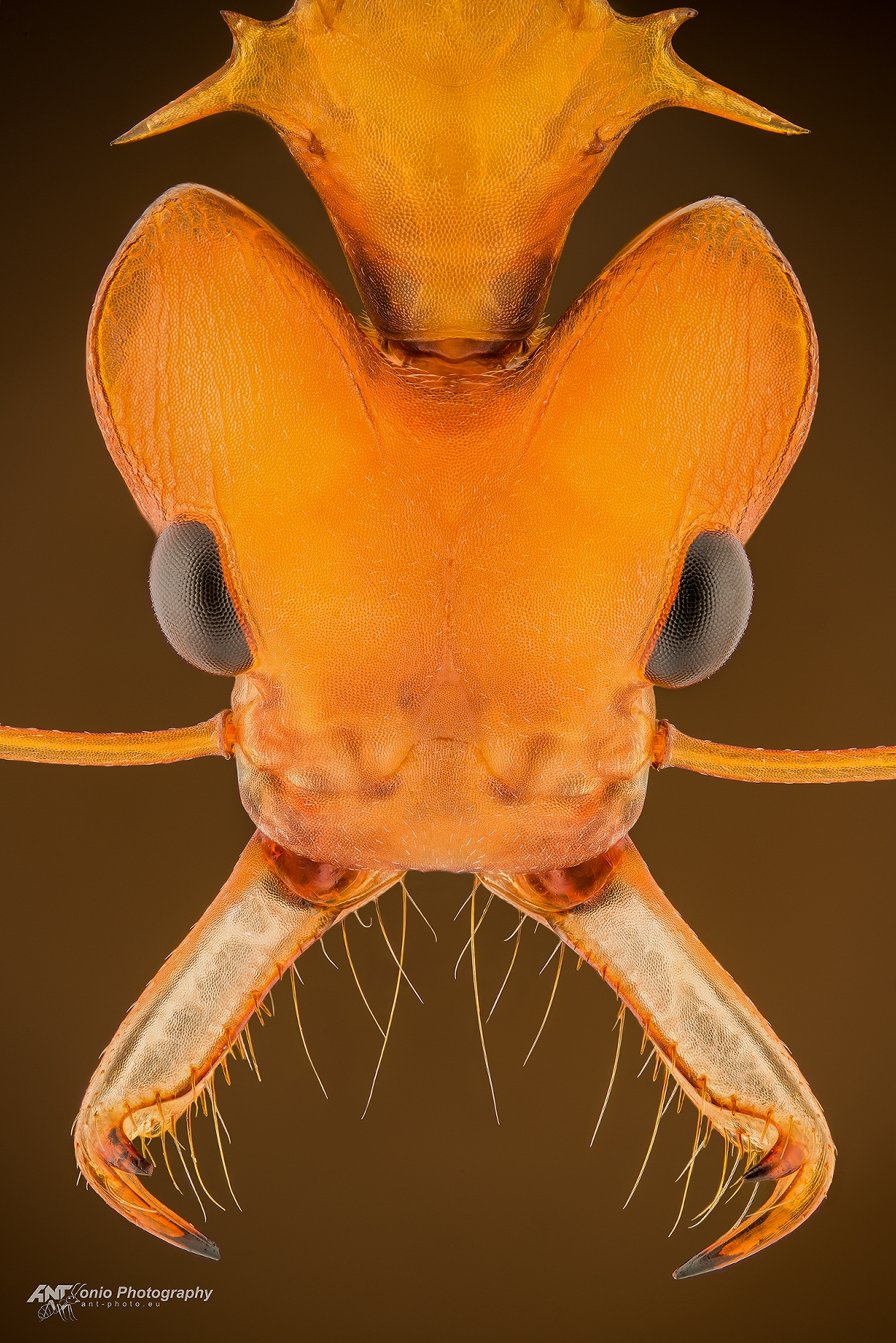 Ant Daceton armigerum worker