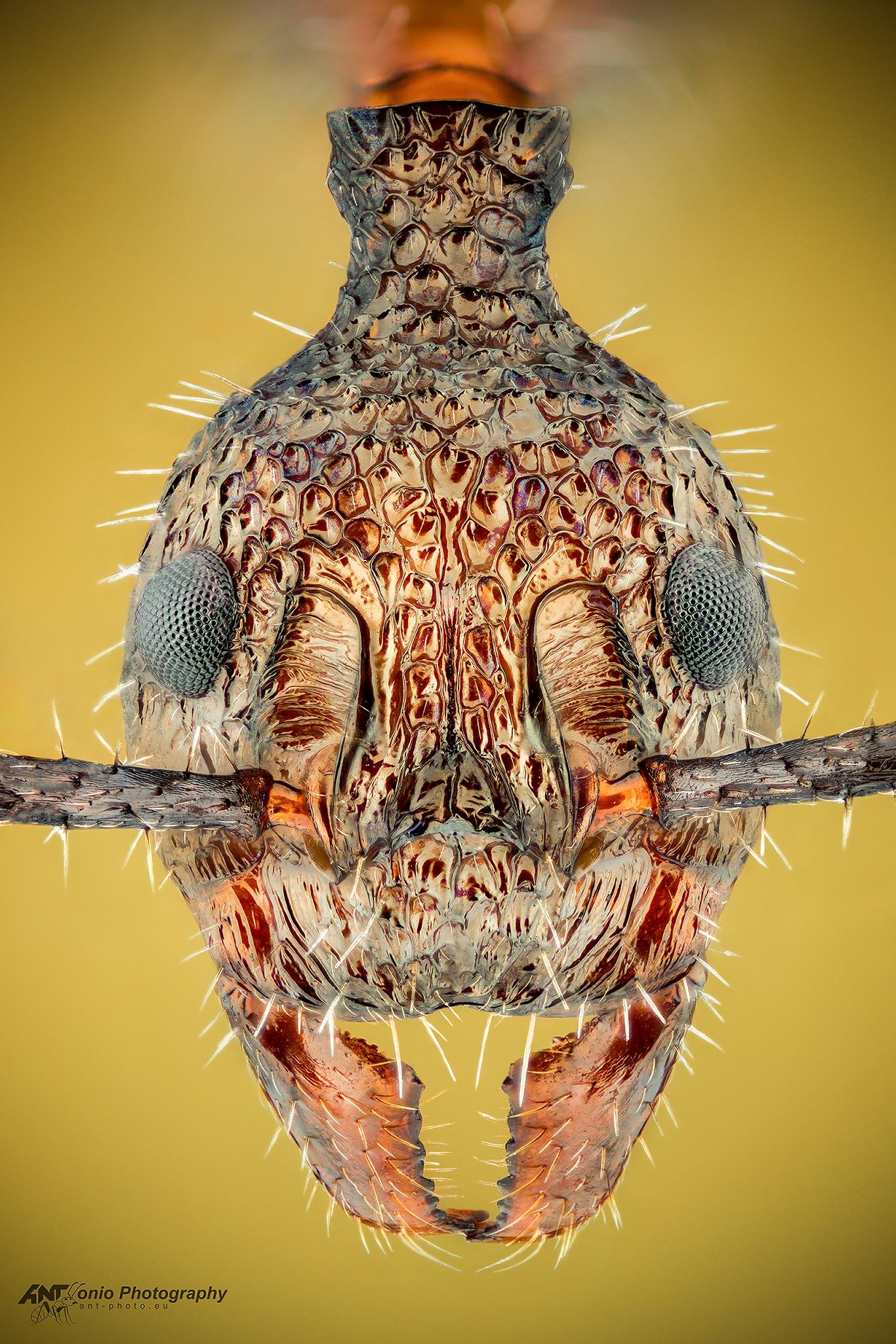 Ant Dolichoderus attelaboides worker