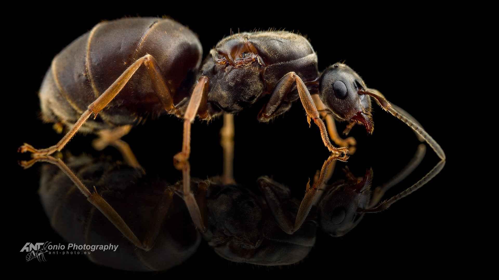 Ant Lasius niger queen
