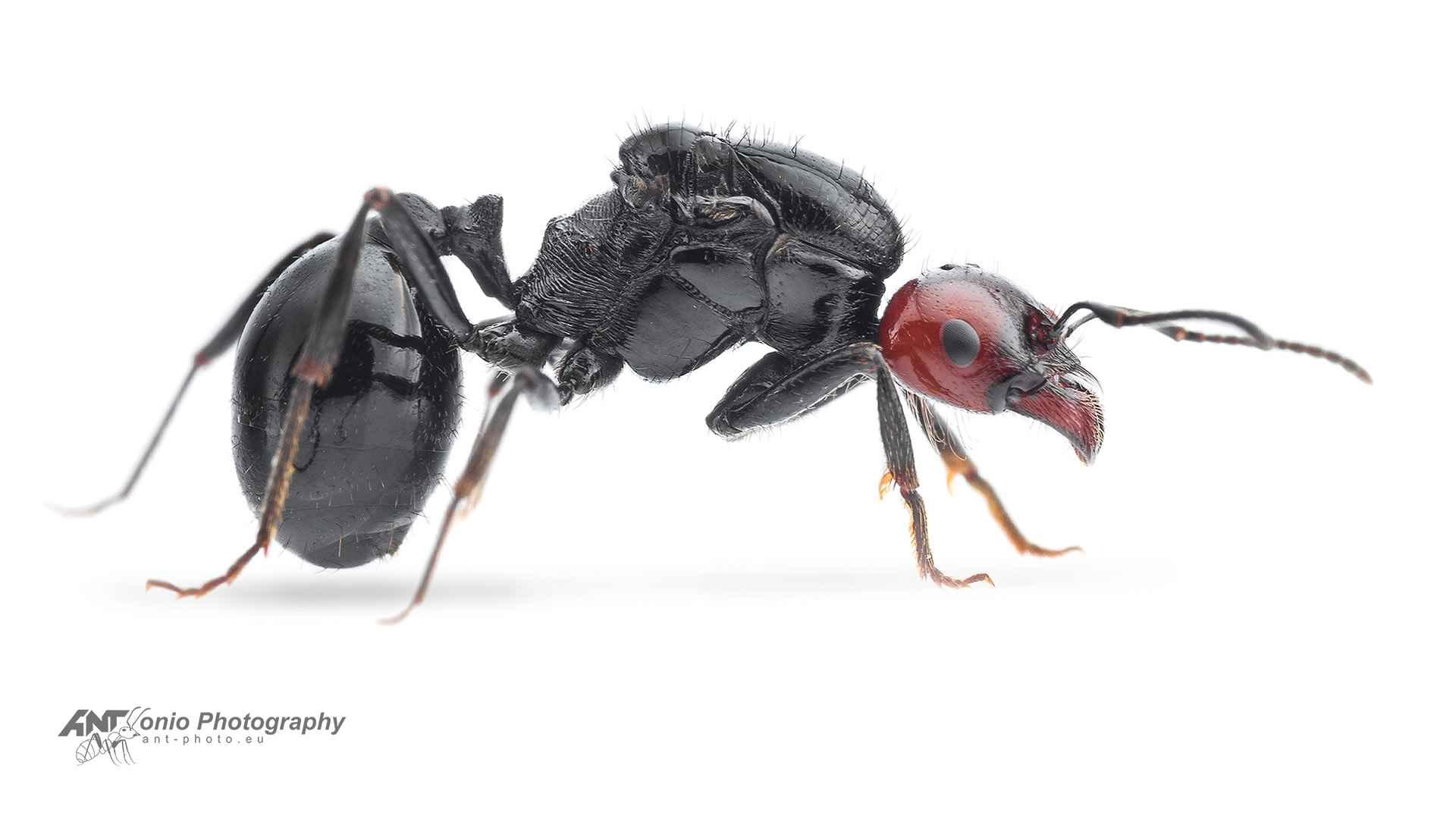 Ant Messor angularis queen