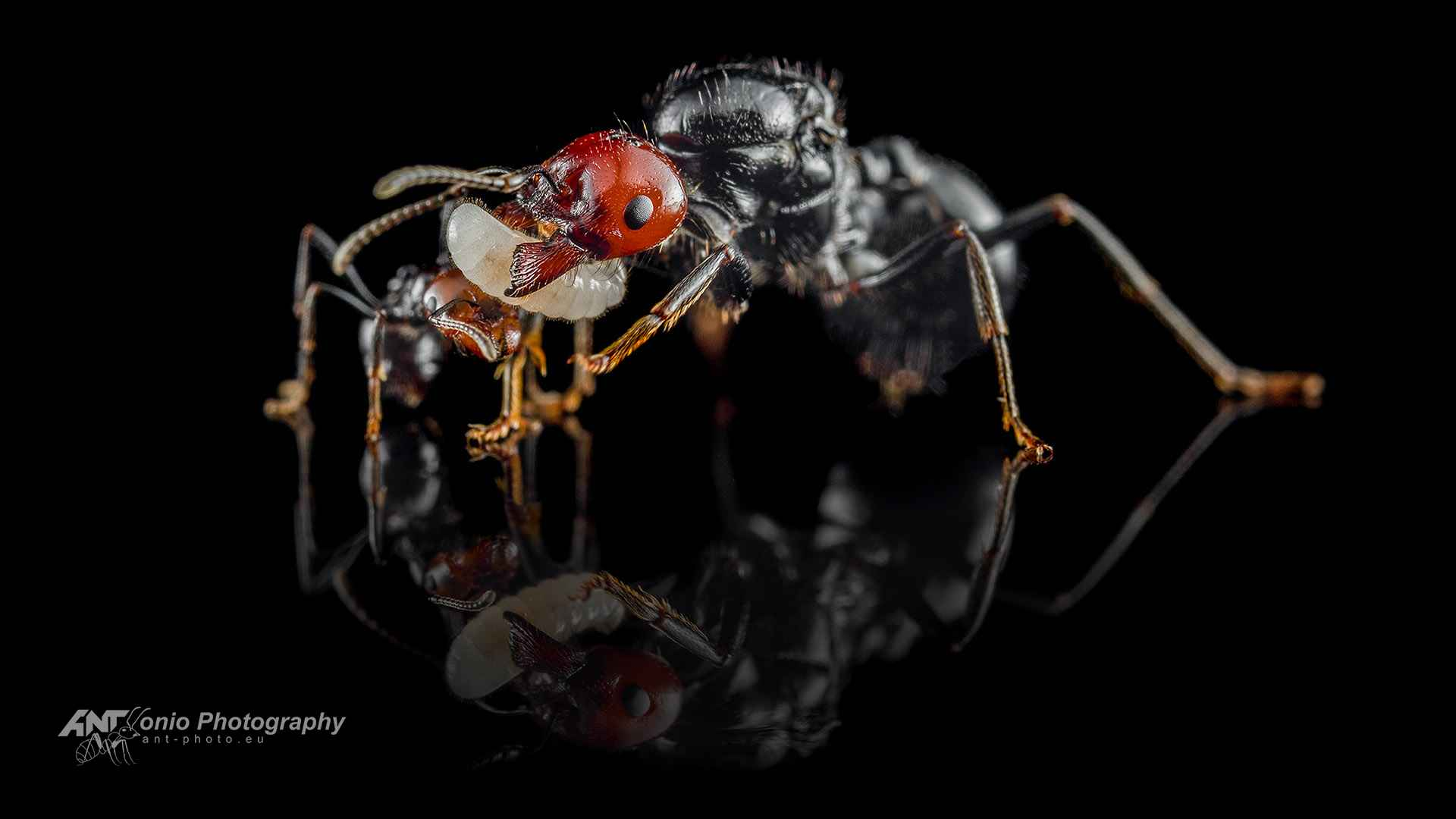 Ant Messor angularis queen