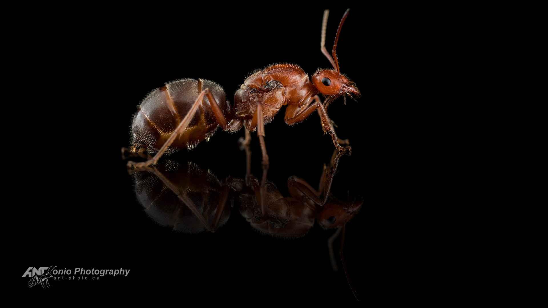 Ant Myrmecocystus mendax queen