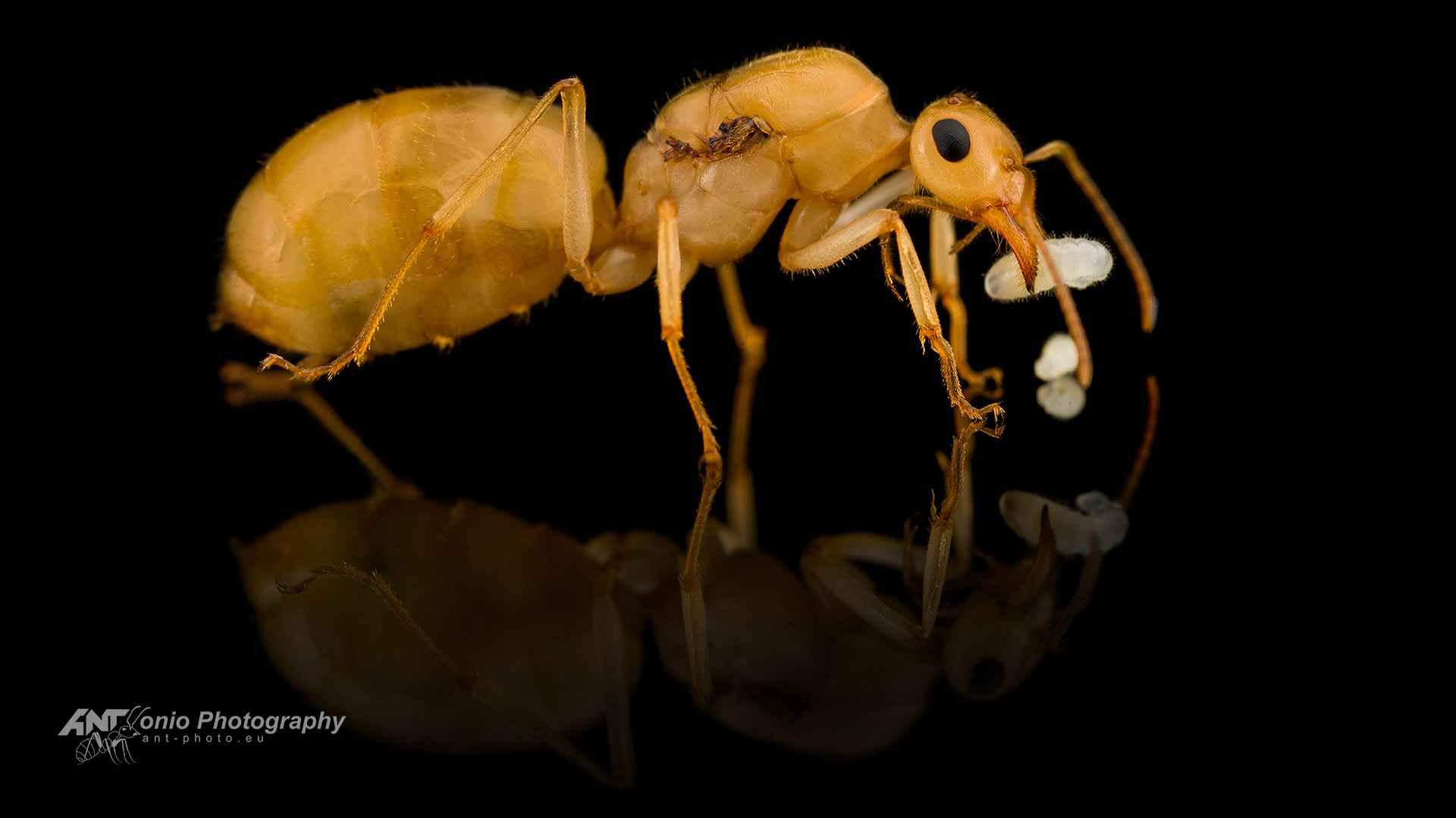 Ant Myrmecocystus navajo queen