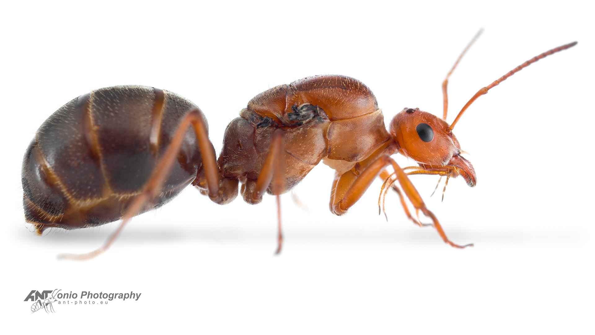 Ant Myrmecocystus mendax queen white