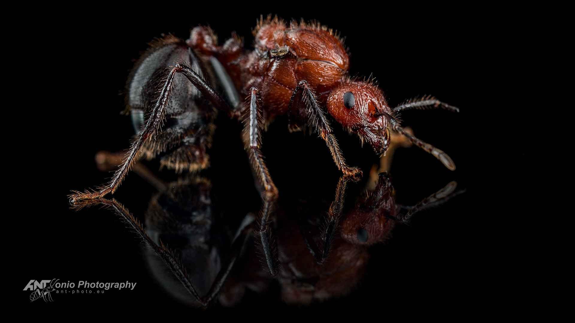 Ant Myrmicaria brunnea queen