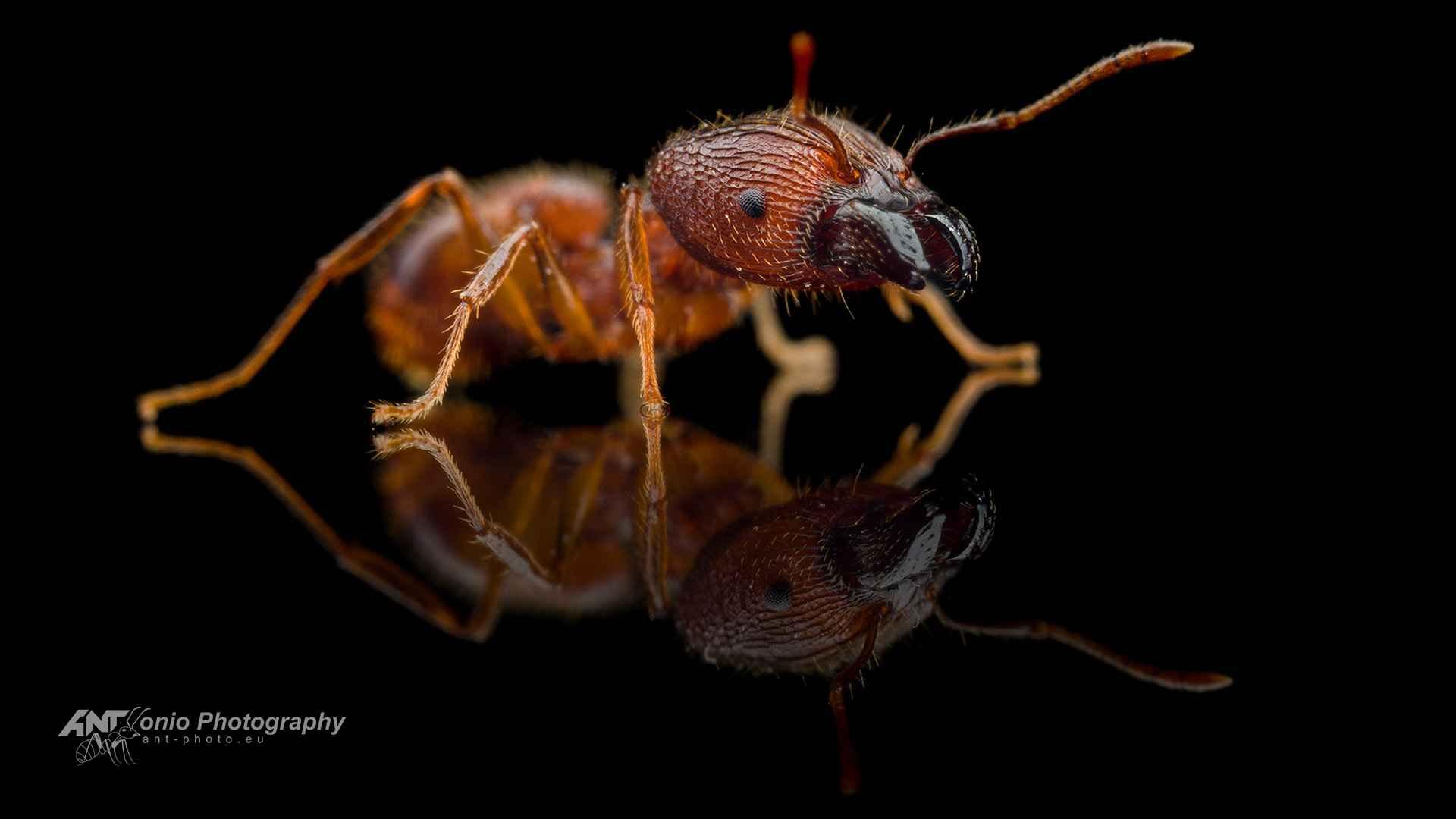 Ant Pheidole spathifera worker