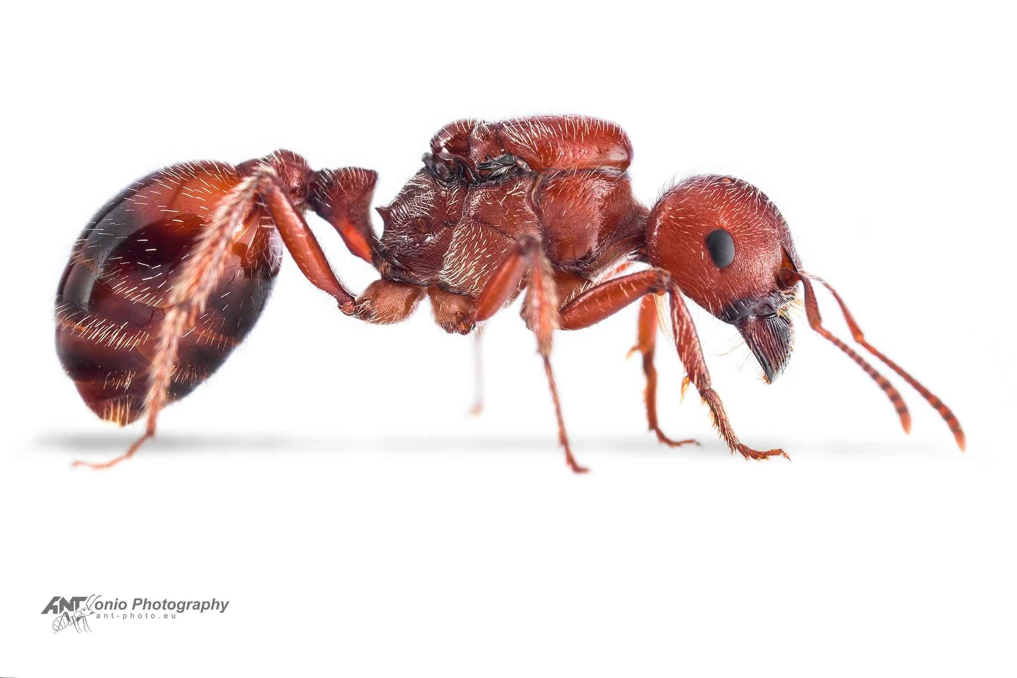 Ant Pogonomyrmex barbatus queen