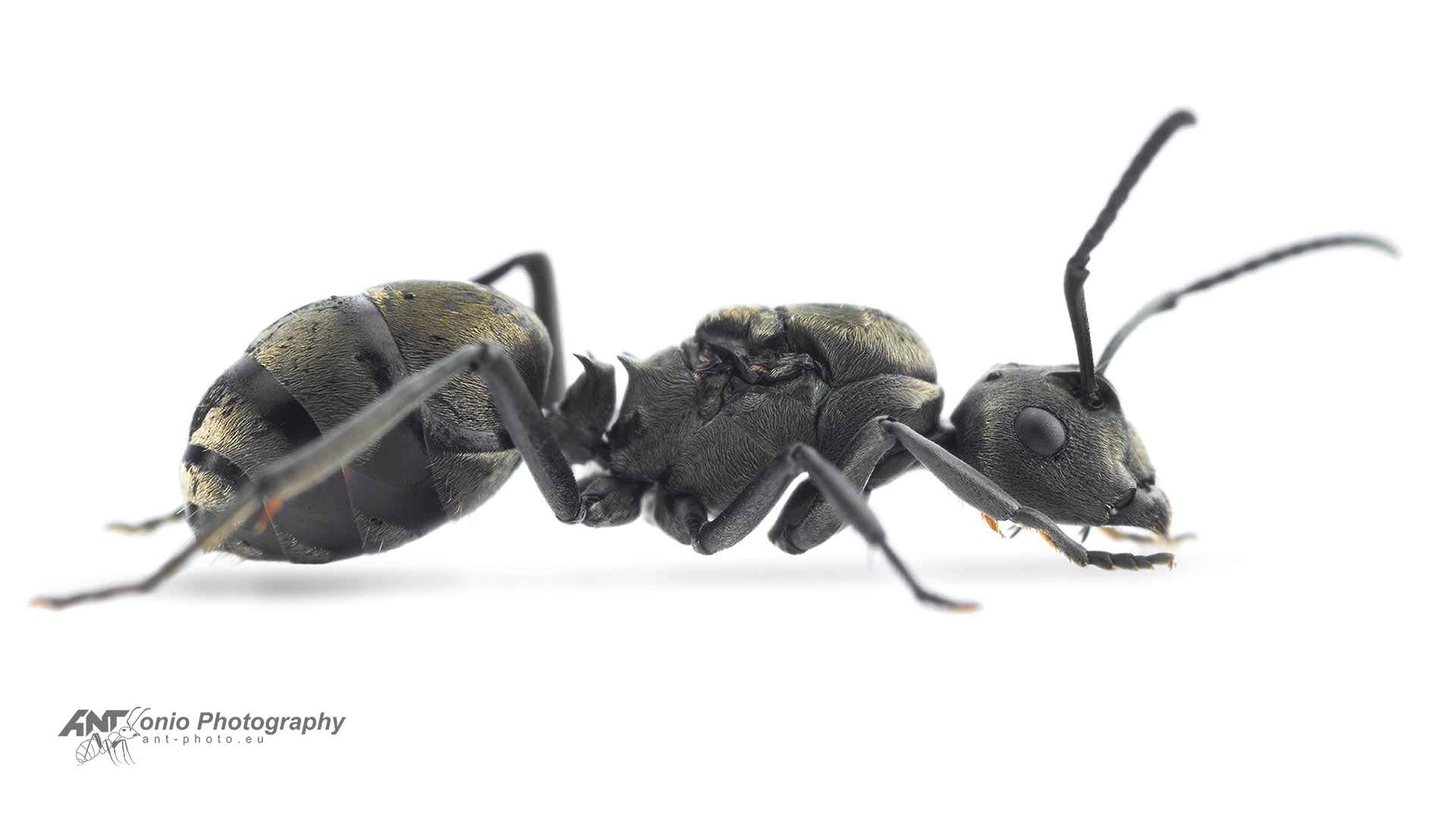 Ant Polyrhachis dives queen