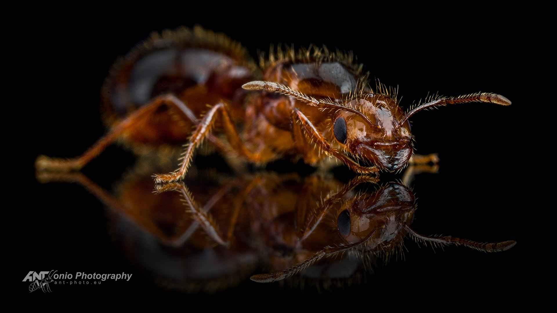 Ant Solenopsis invicta queen
