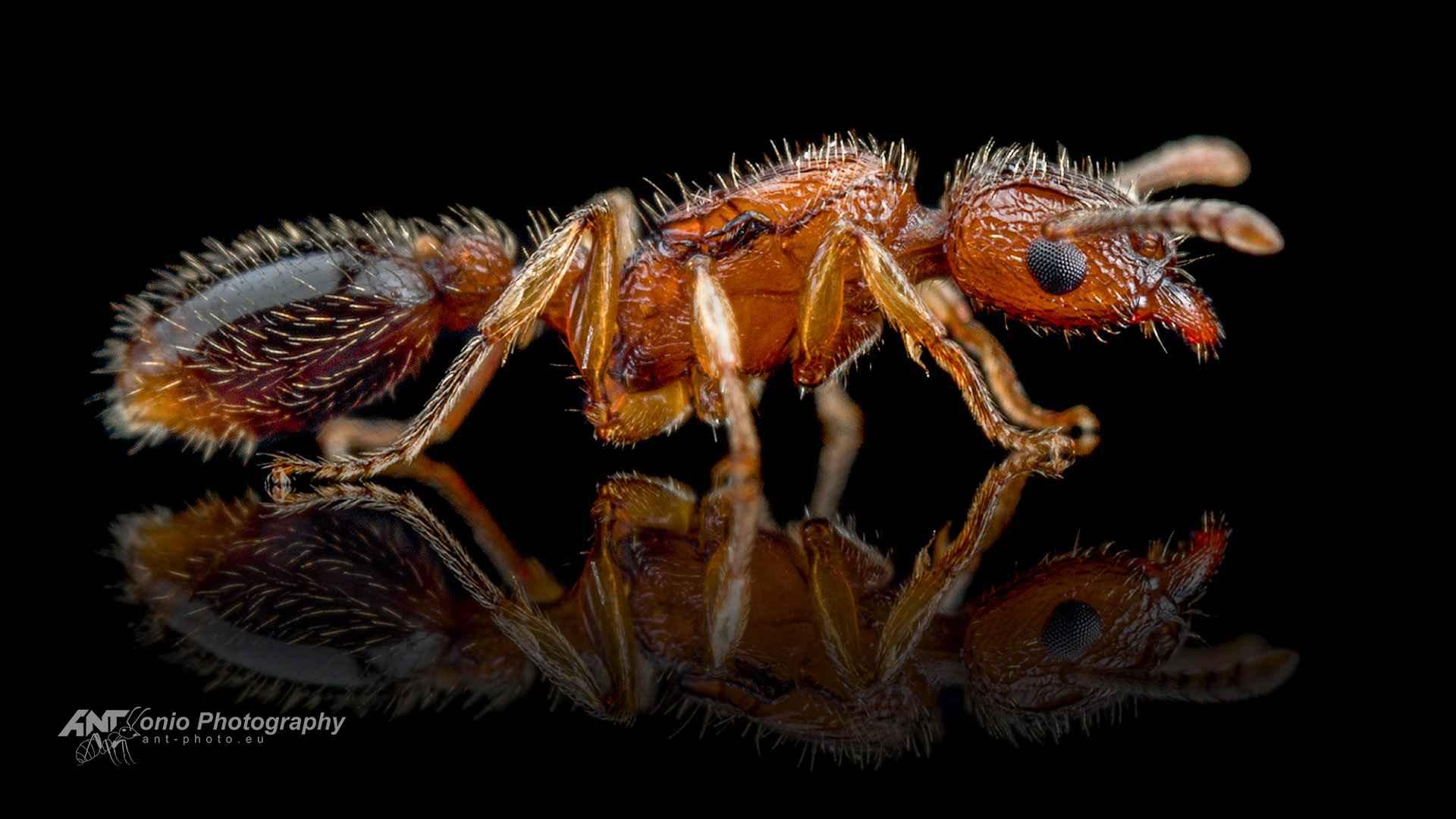 Ant Tetramorium bicarinatum queen