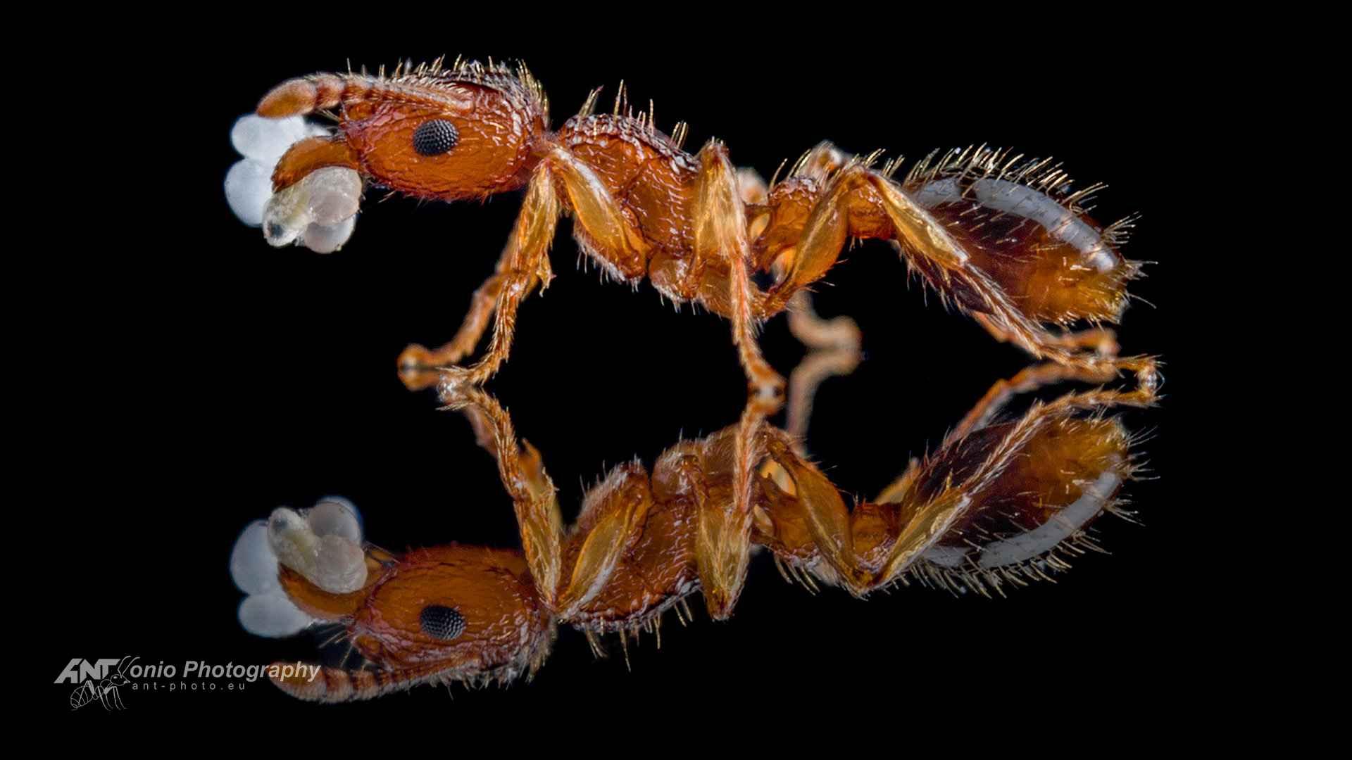 Ant Tetramorium bicarinatum worker