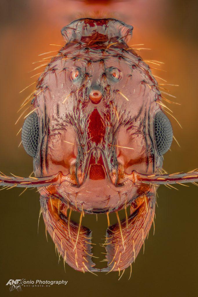 Aphaenogaster feae