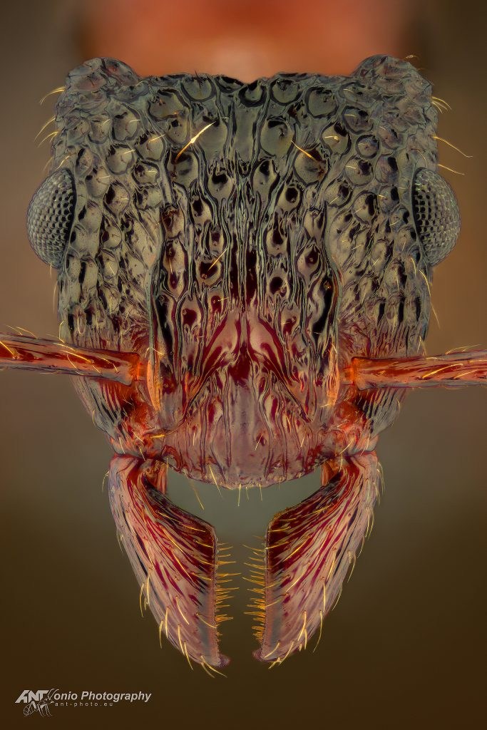 Gnamptogenys bicolor