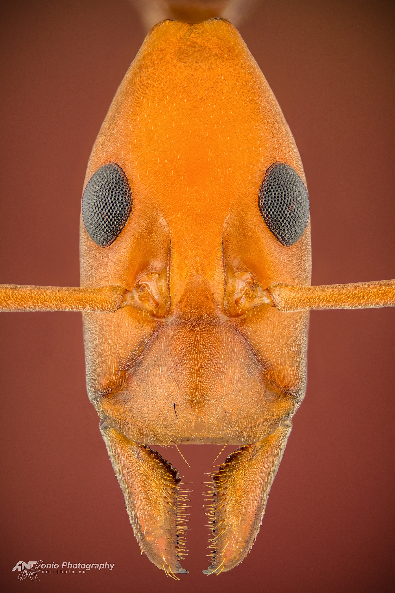 Ant Leptomyrmex ruficeps head