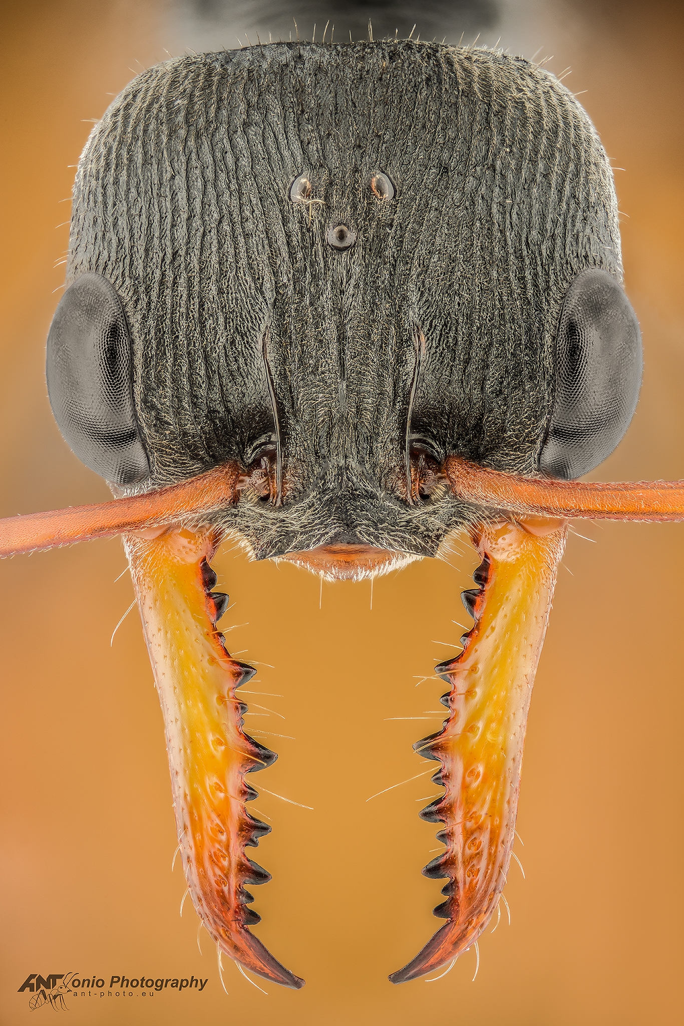 Ant Myrmecia pilosula queen head