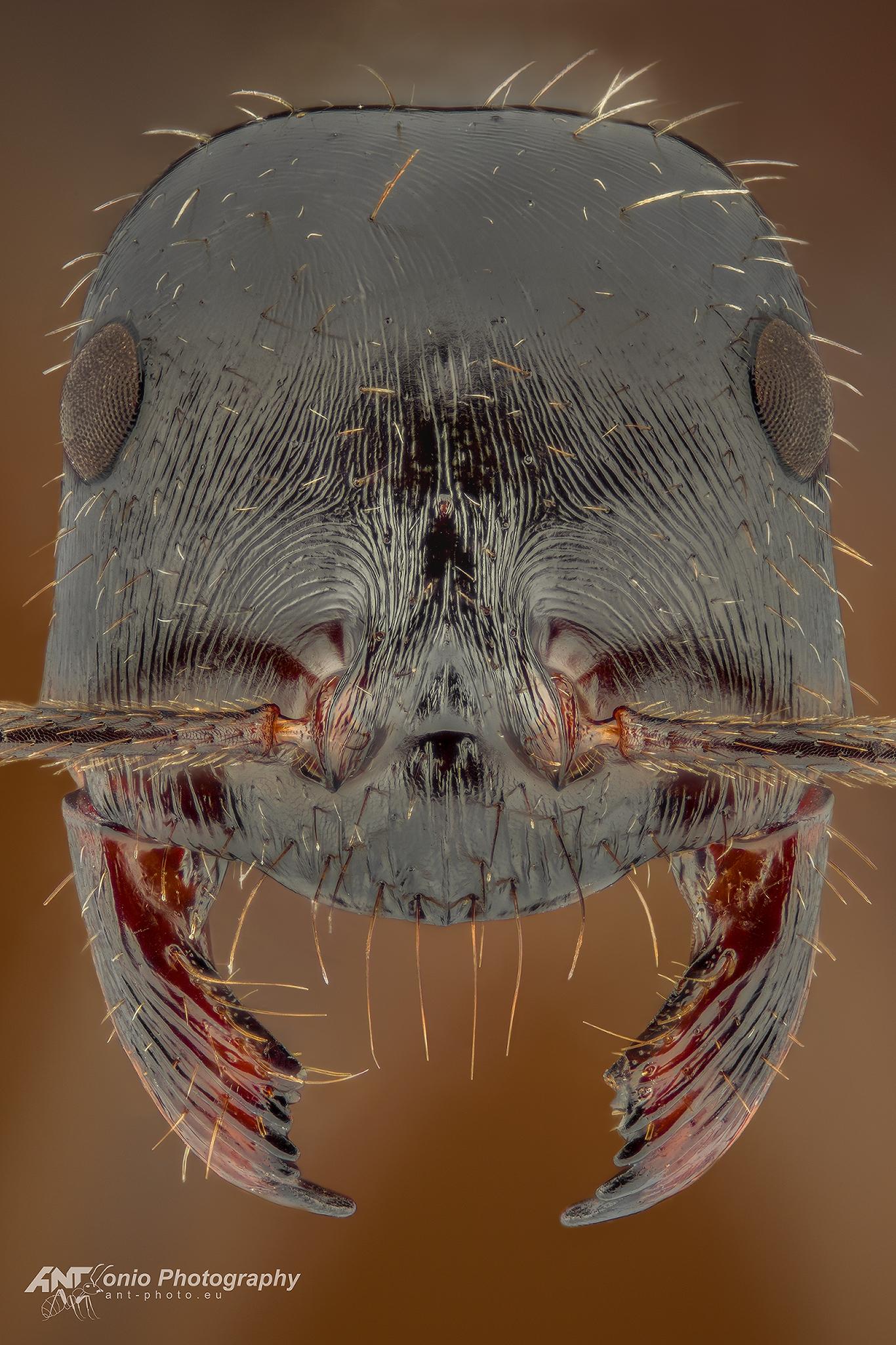 Ant Ocomyrmex zekhem