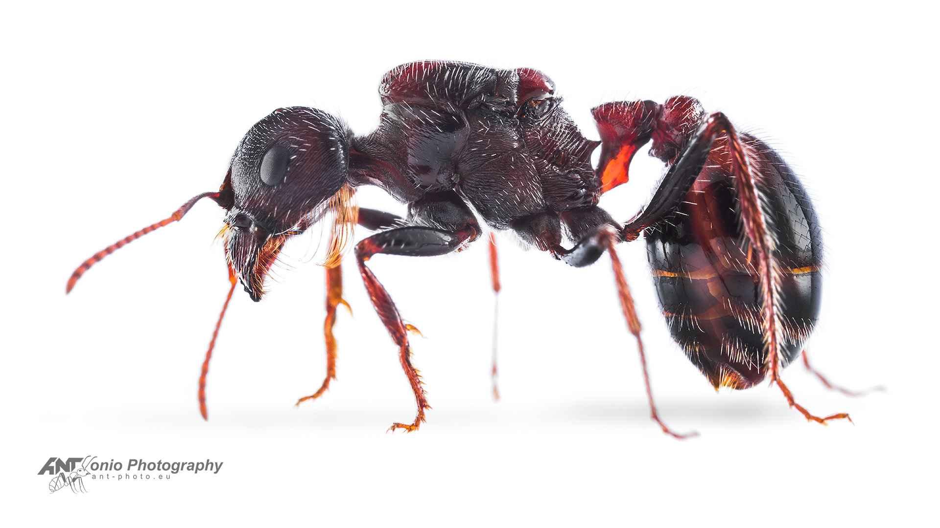 Ant Pogonomyrmex rugosus queen