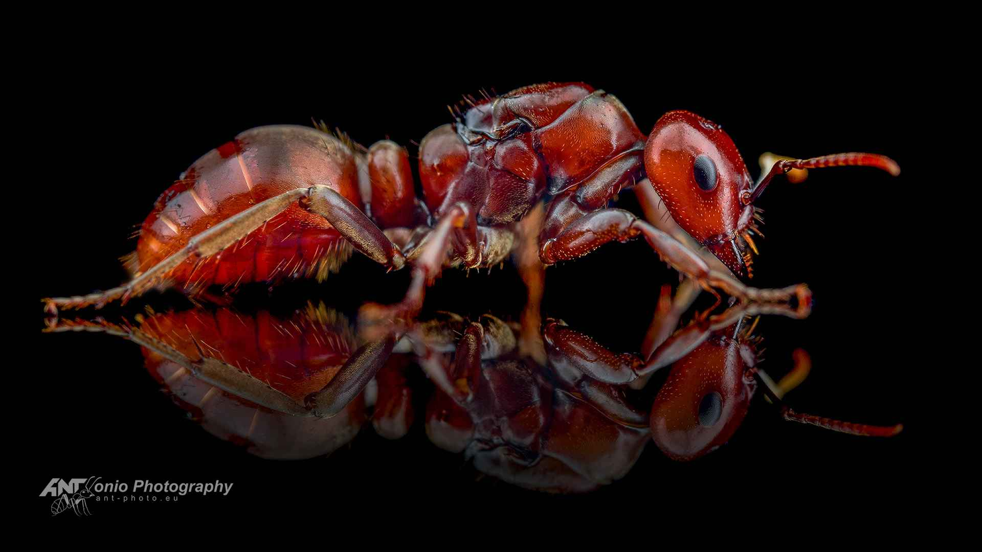 Ant Polyergus rufescens queen