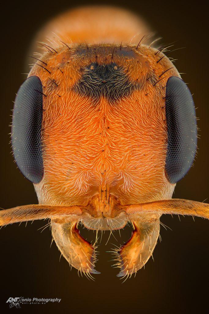 Pseudomyrmex maculatus