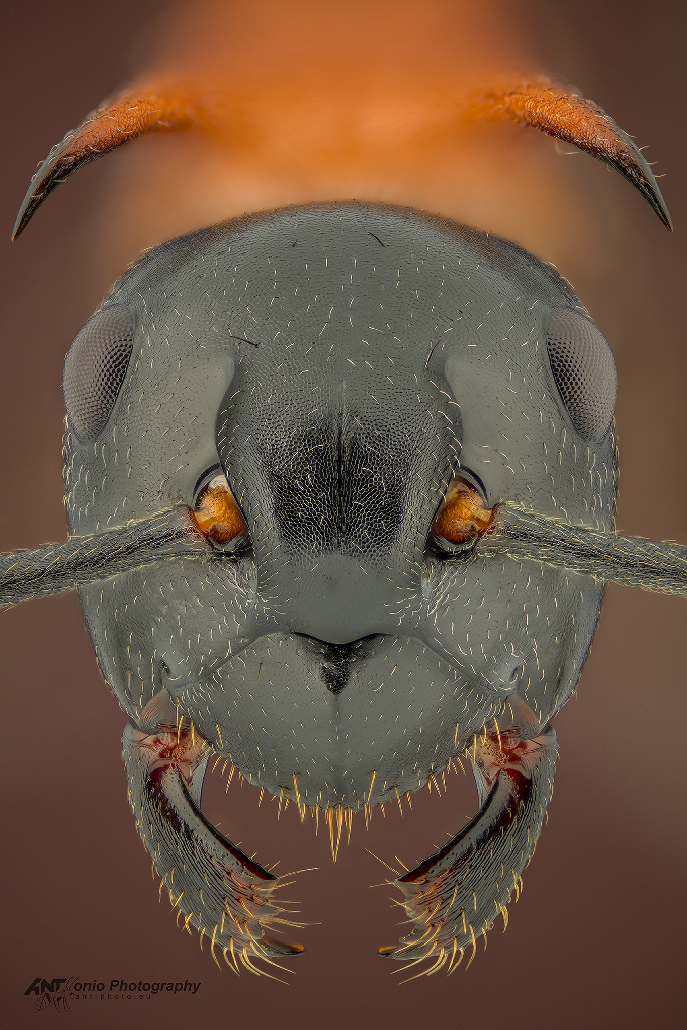 Ant Polyrhachis lamellidens worker, head