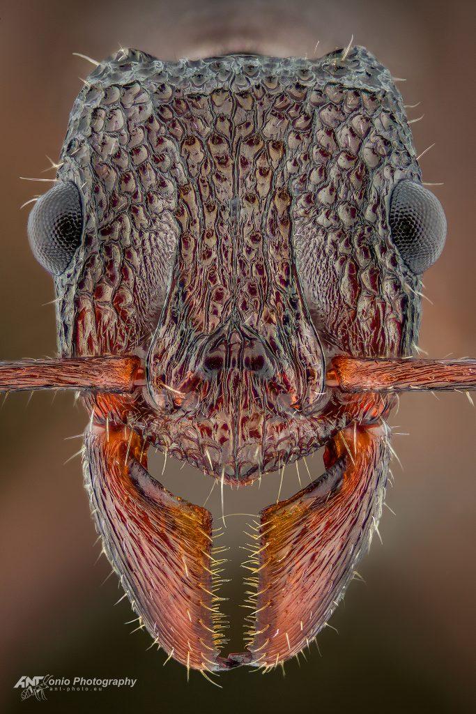 Rhytidoponera sp.