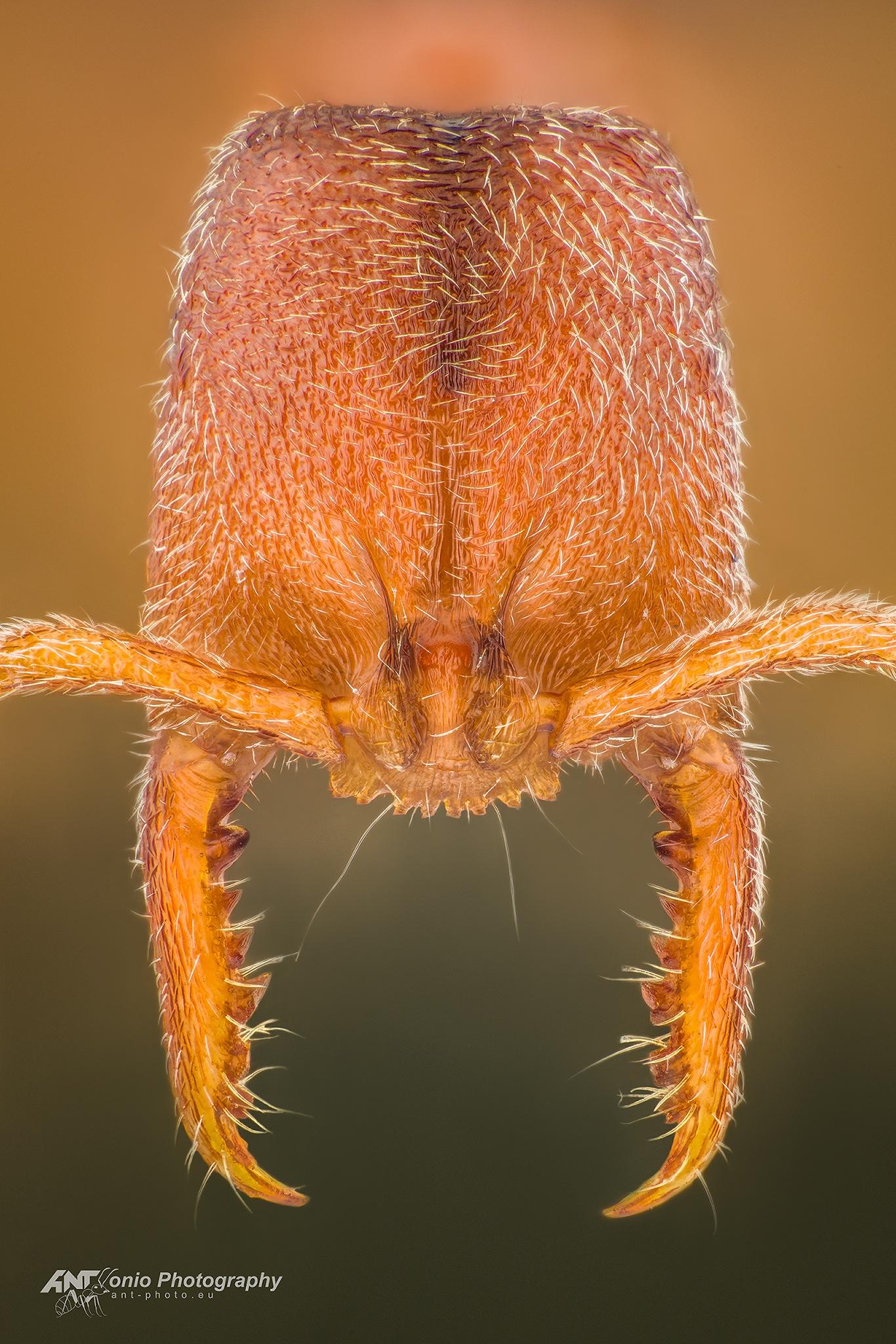 Ant Stigmatomma silvestrii head