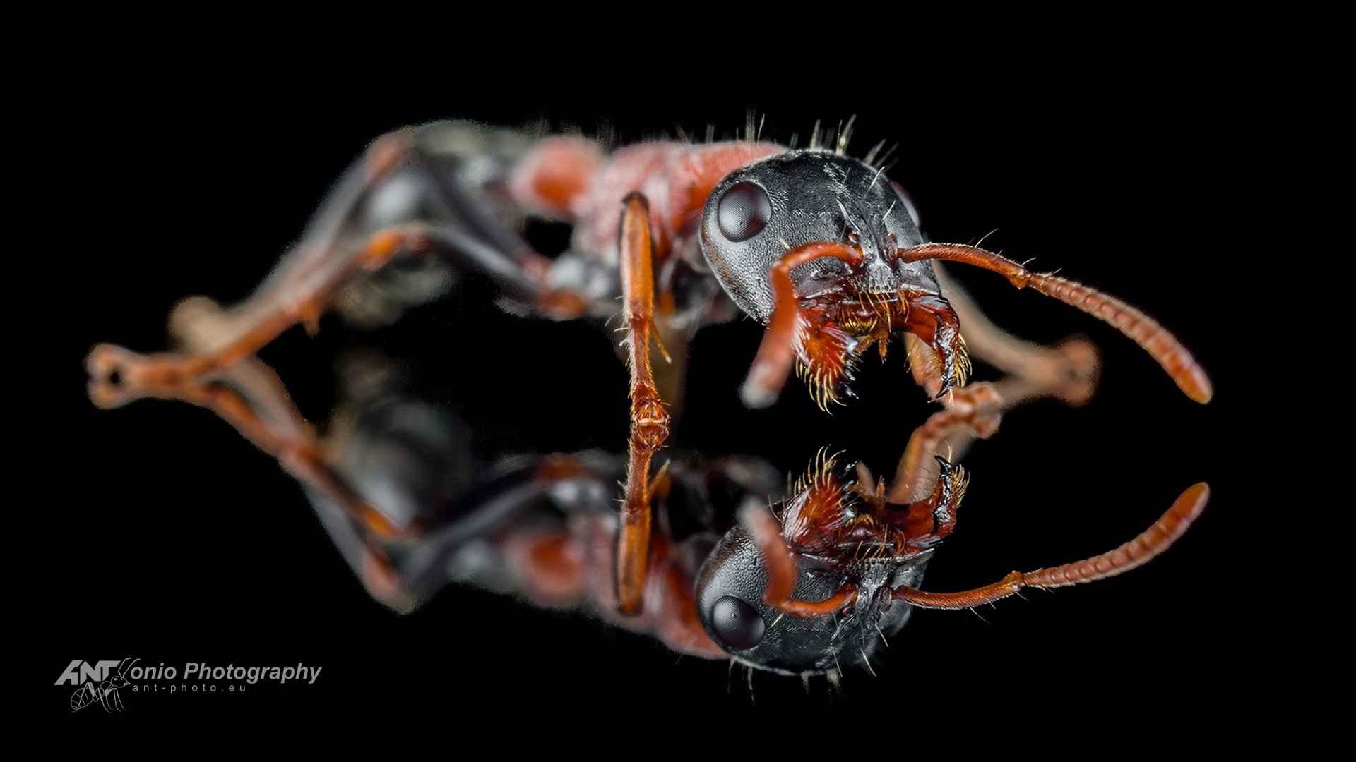 Ant Tetraponera rufonigra