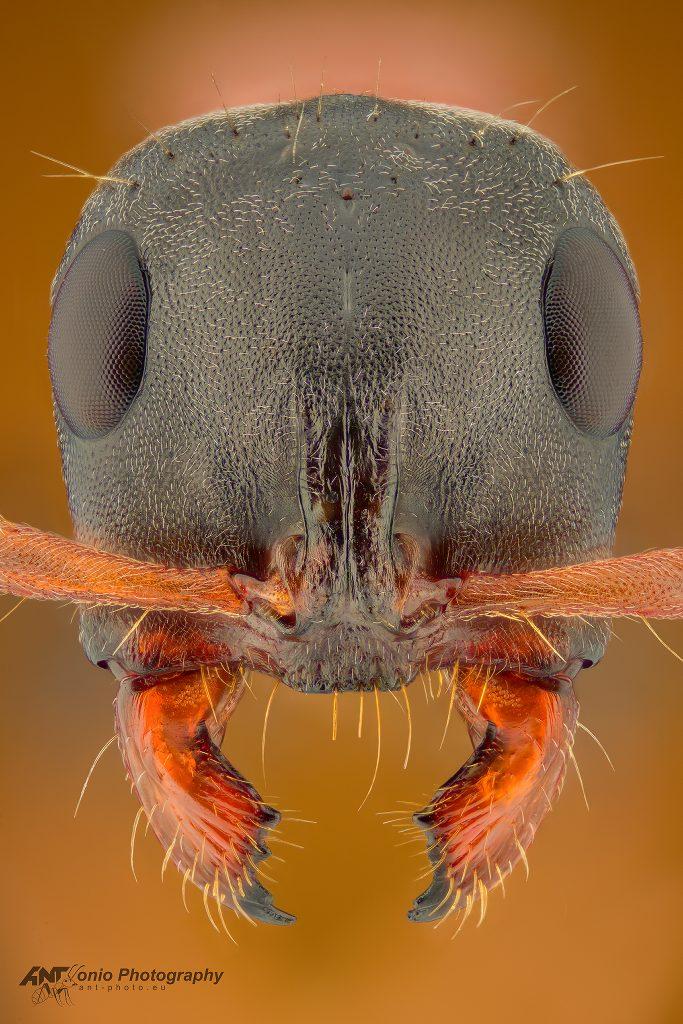 Tetraponera rufonigra