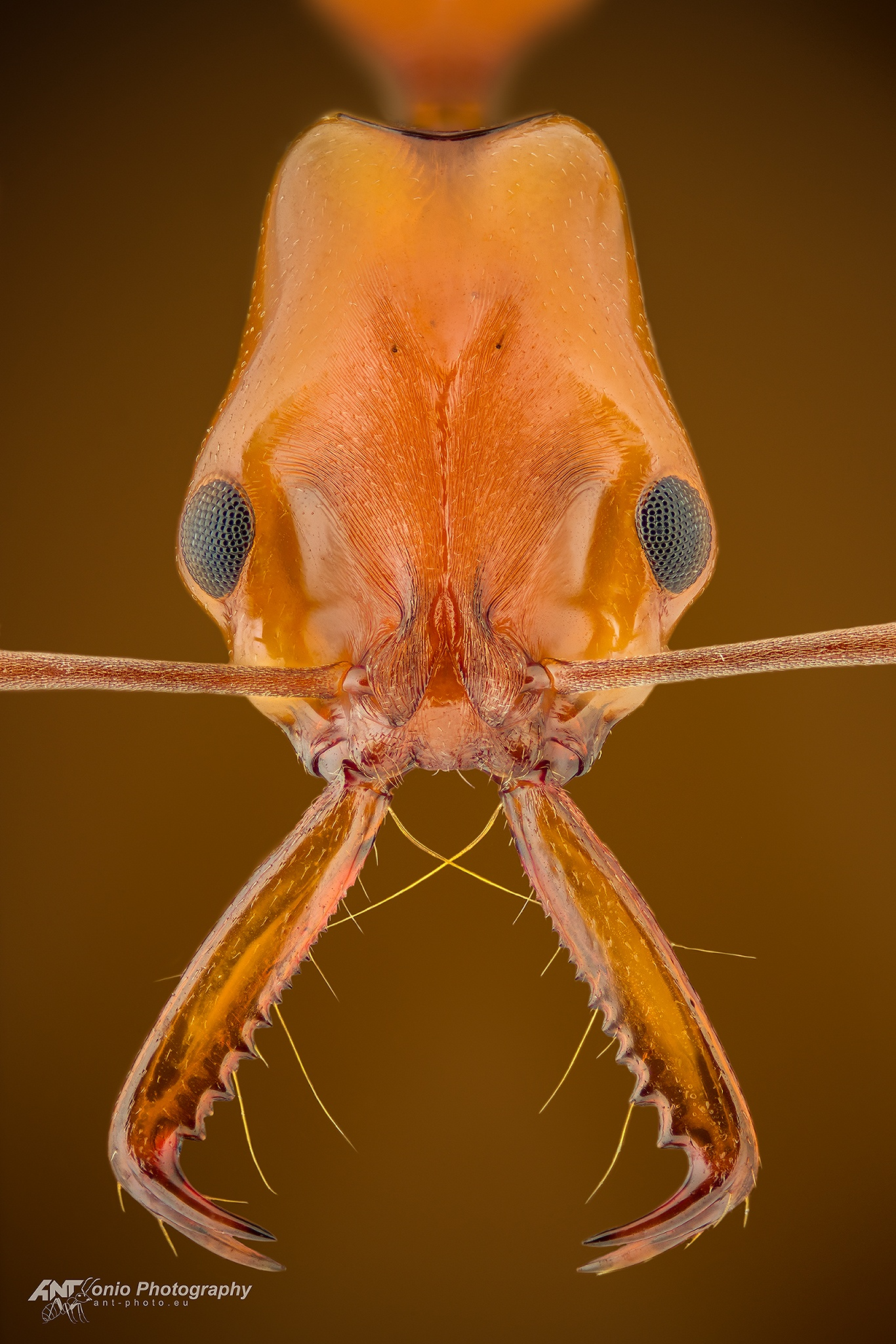 Ant Anochetus micans head