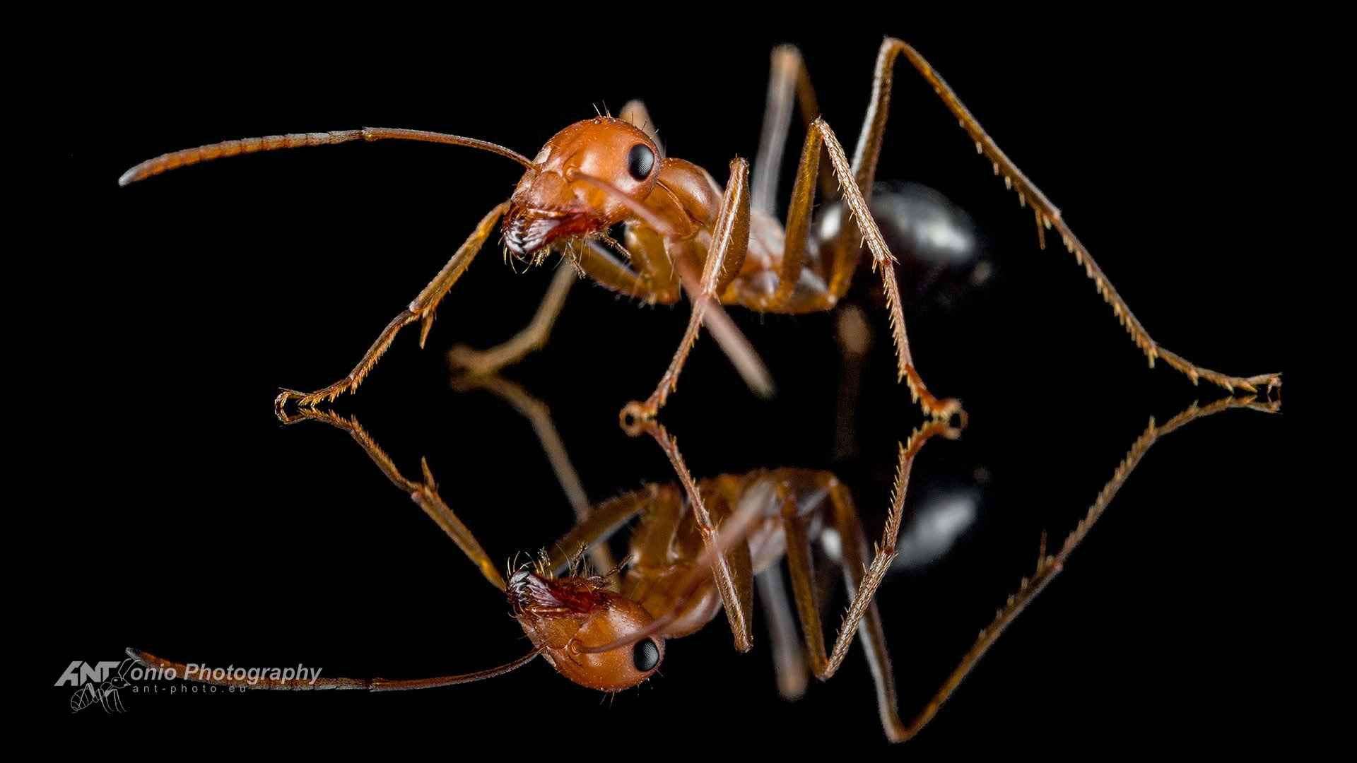 Ant Cataglyphis viaticoides worker