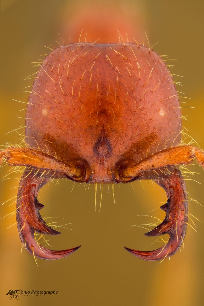 Cheliomyrmex morosus
