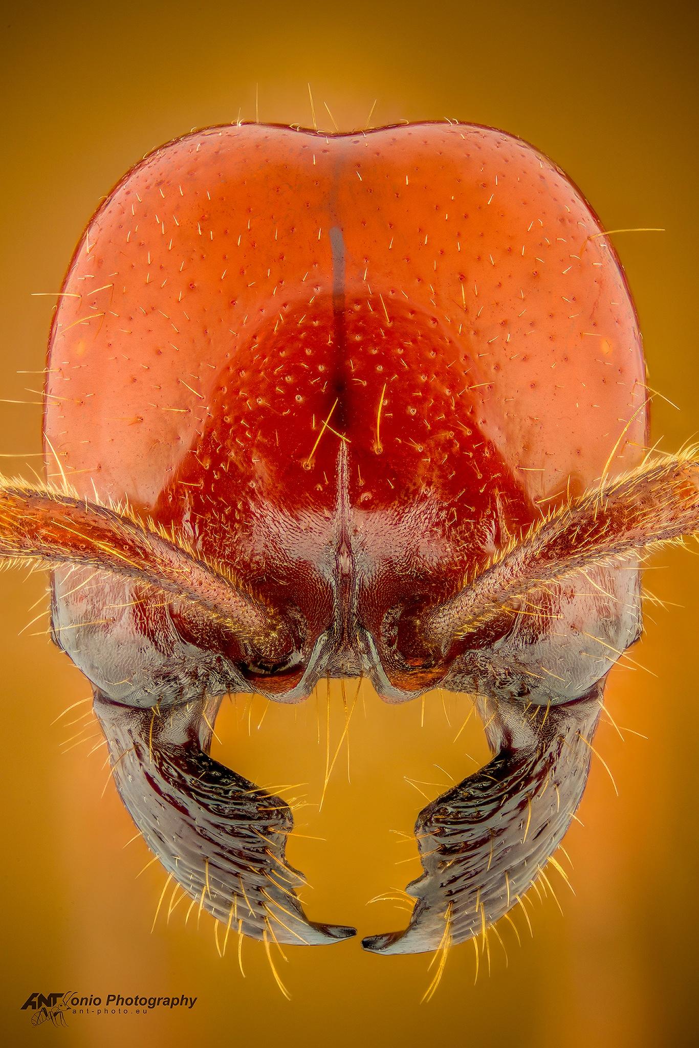 Ant Labidus coecus head